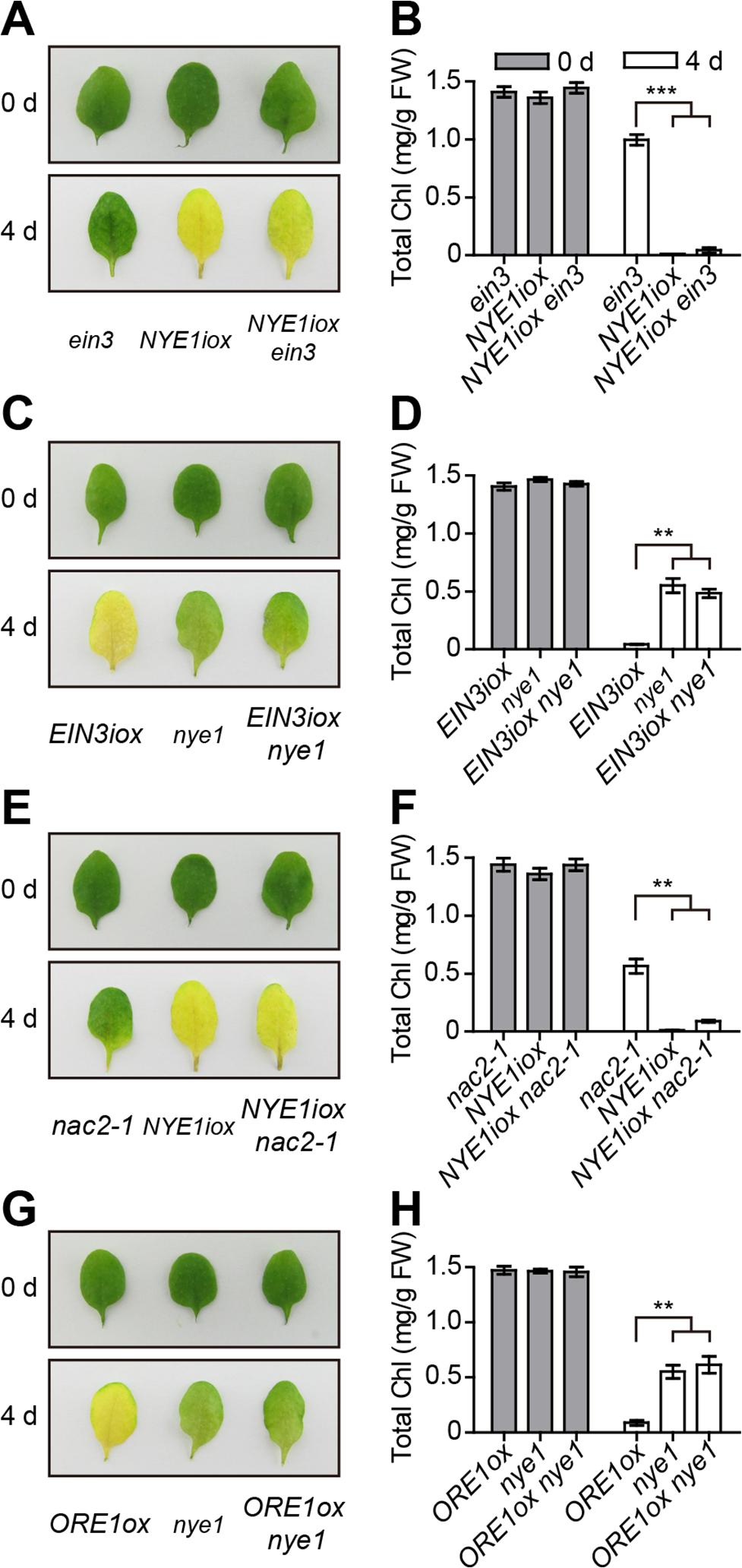 Ethylene-induced chl degradation through <i>EIN3</i> and <i>ORE1</i> is <i>NYE1</i>-dependent.
