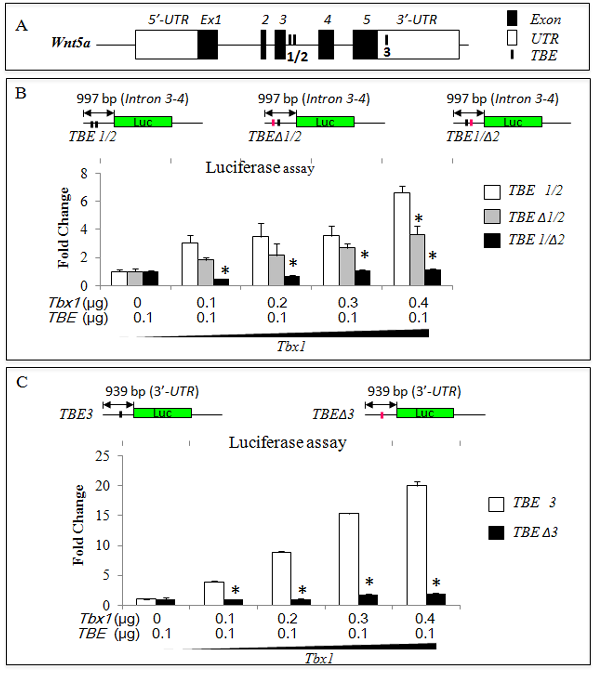 <i>Wnt5a</i> has conserved T-box binding elements (TBEs) that are required for response to <i>Tbx1</i> in luciferase assays.