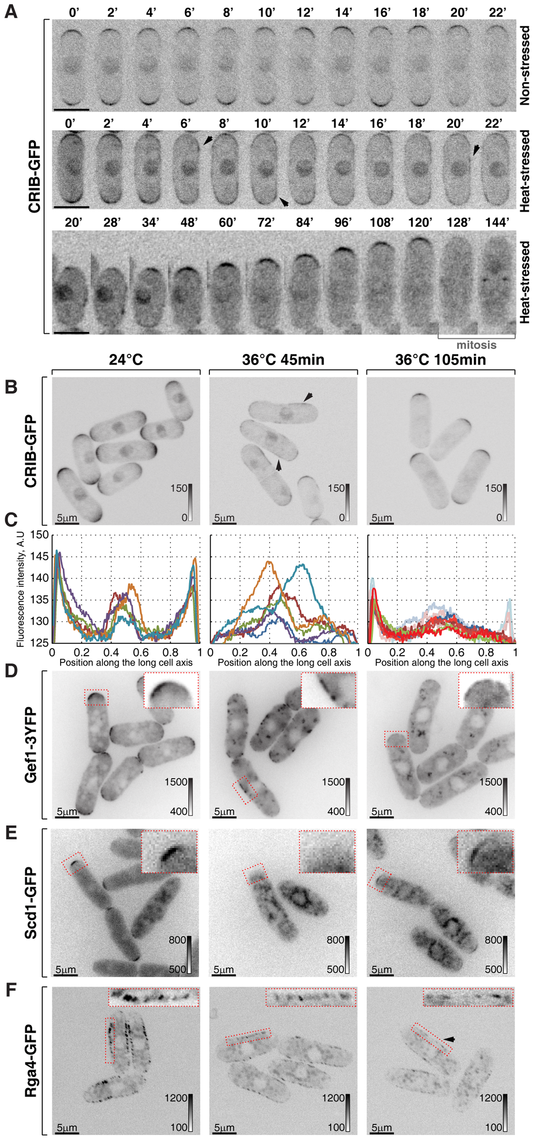 Cortical association of GTP-bound Cdc42 and its GEFs and GAP is modulated by temperature.