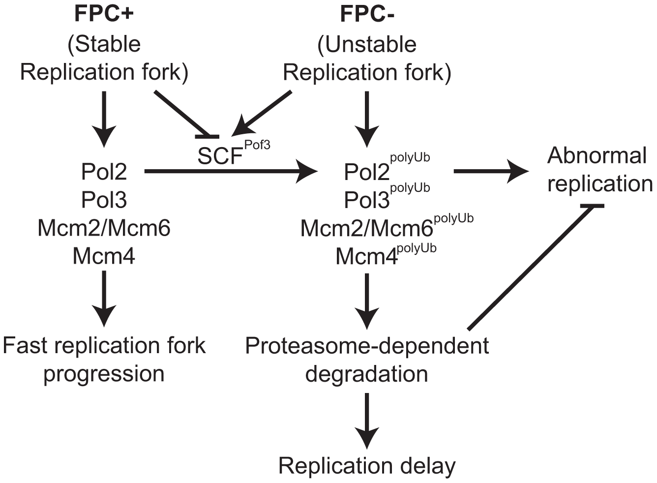 Degradation of replisome components prevents genomic instability.
