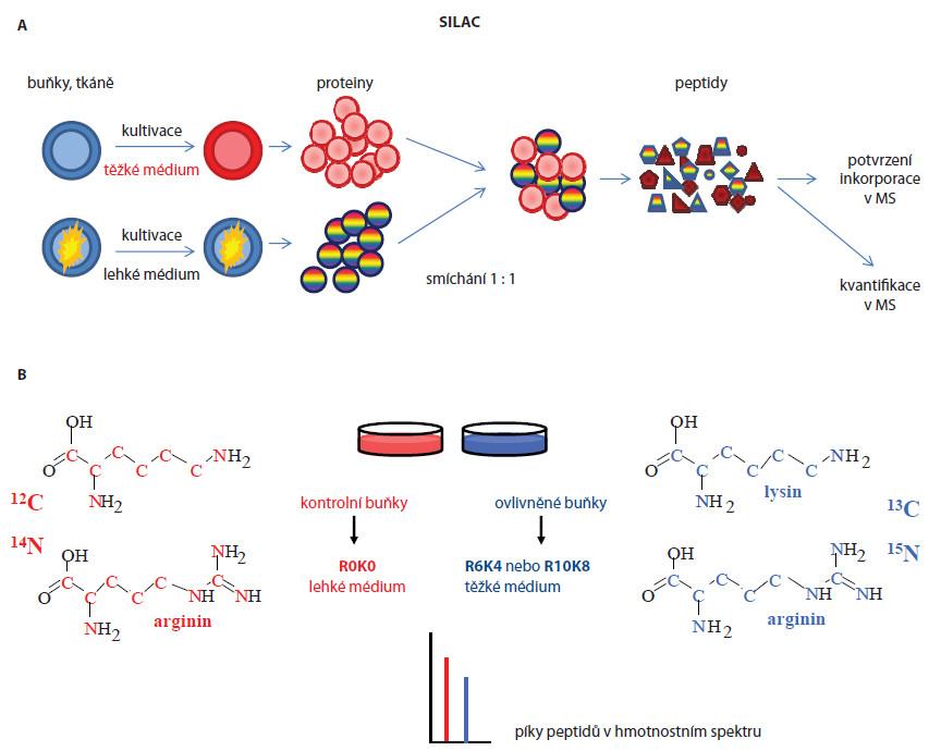 A. Schematický postup popisující SILAC kvantitativní analýzu buněčných linií. B. Struktura těžkých a lehkých aminokyselin zastoupených v kultivačních médiích a jejich efekt (specifický hmotnostní posun) v hmotnostním spektru, v němž osa x představuje efektivní hmoty (m/z) iontů peptidů a osa y intenzitu iontů, která odpovídá kvantitativnímu zastoupení daného peptidu v analyzovaném vzorku.