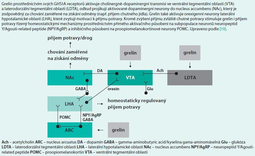 Schéma 8. Schéma působení grelinu v hédonické regulaci příjmu potravy