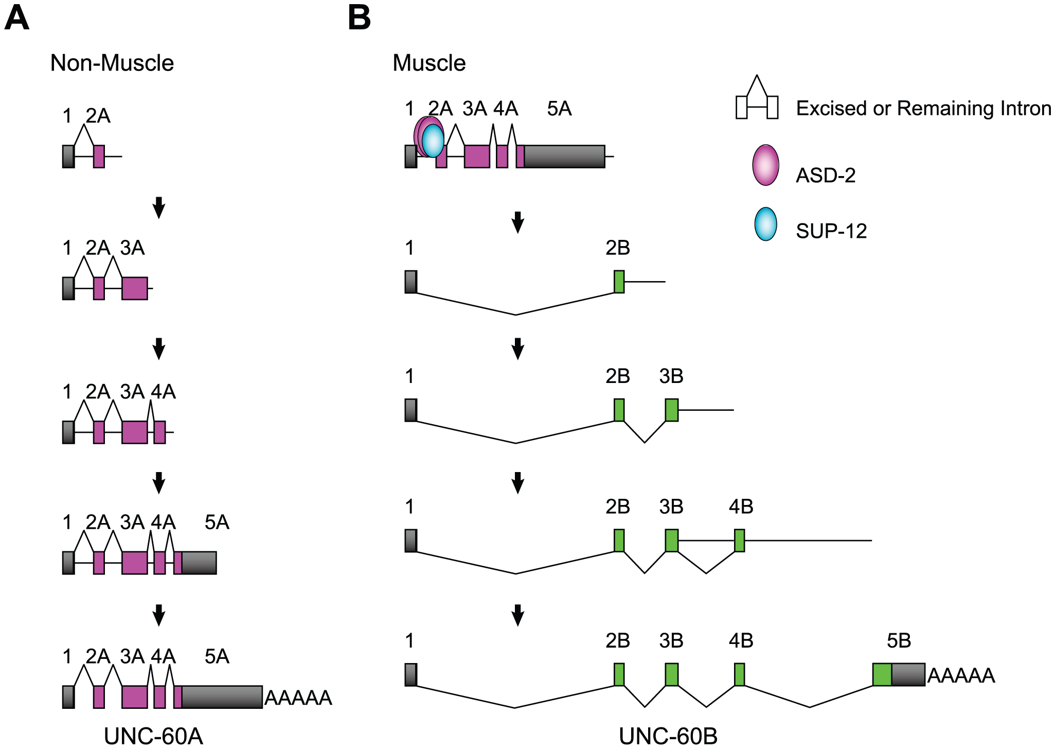 Schematic illustrations of the tissue-specific alternative processing of the <i>unc-60</i> pre-mRNA during the course of transcription.