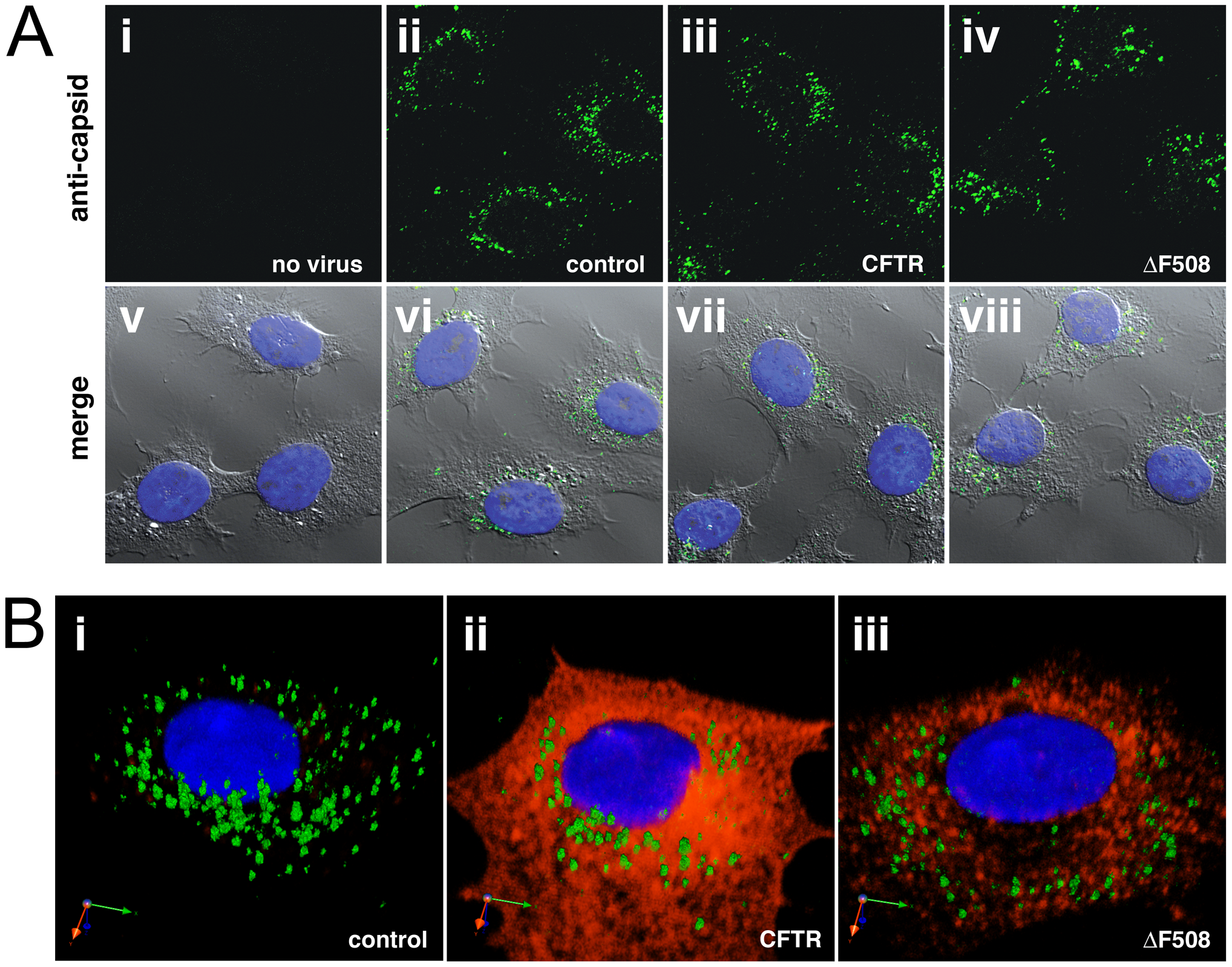 Perinuclear accumulation of AAV capsids in control, CFTR, or ΔF508-CFTR cells.