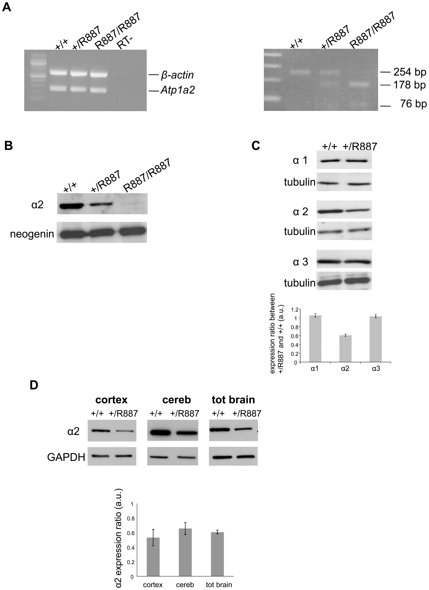 In vivo expression of mutant <i>Atp1a2</i>.