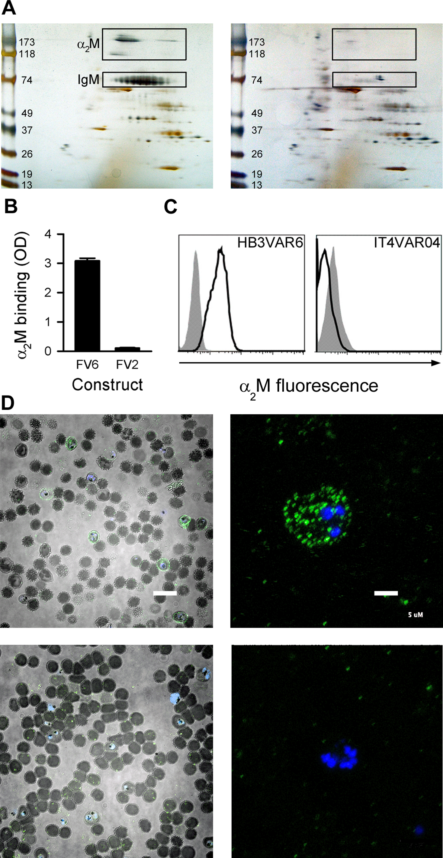 Identification of α<sub>2</sub>M as the soluble serum factor binding HB3VAR06.