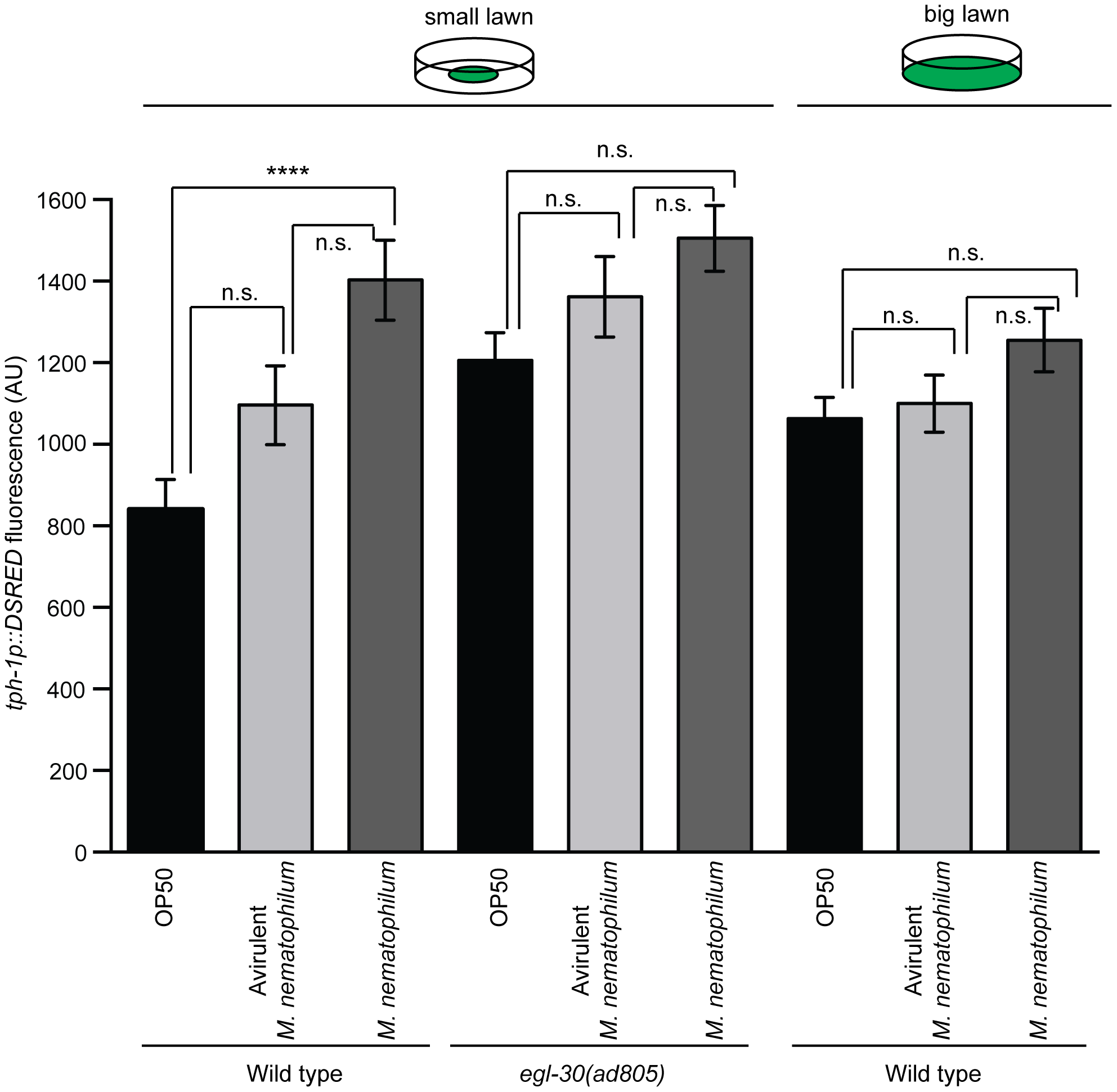 Increased expression of TPH-1 in ADF chemosensory neurons is caused by reduced contact with contaminated bacterial lawns.