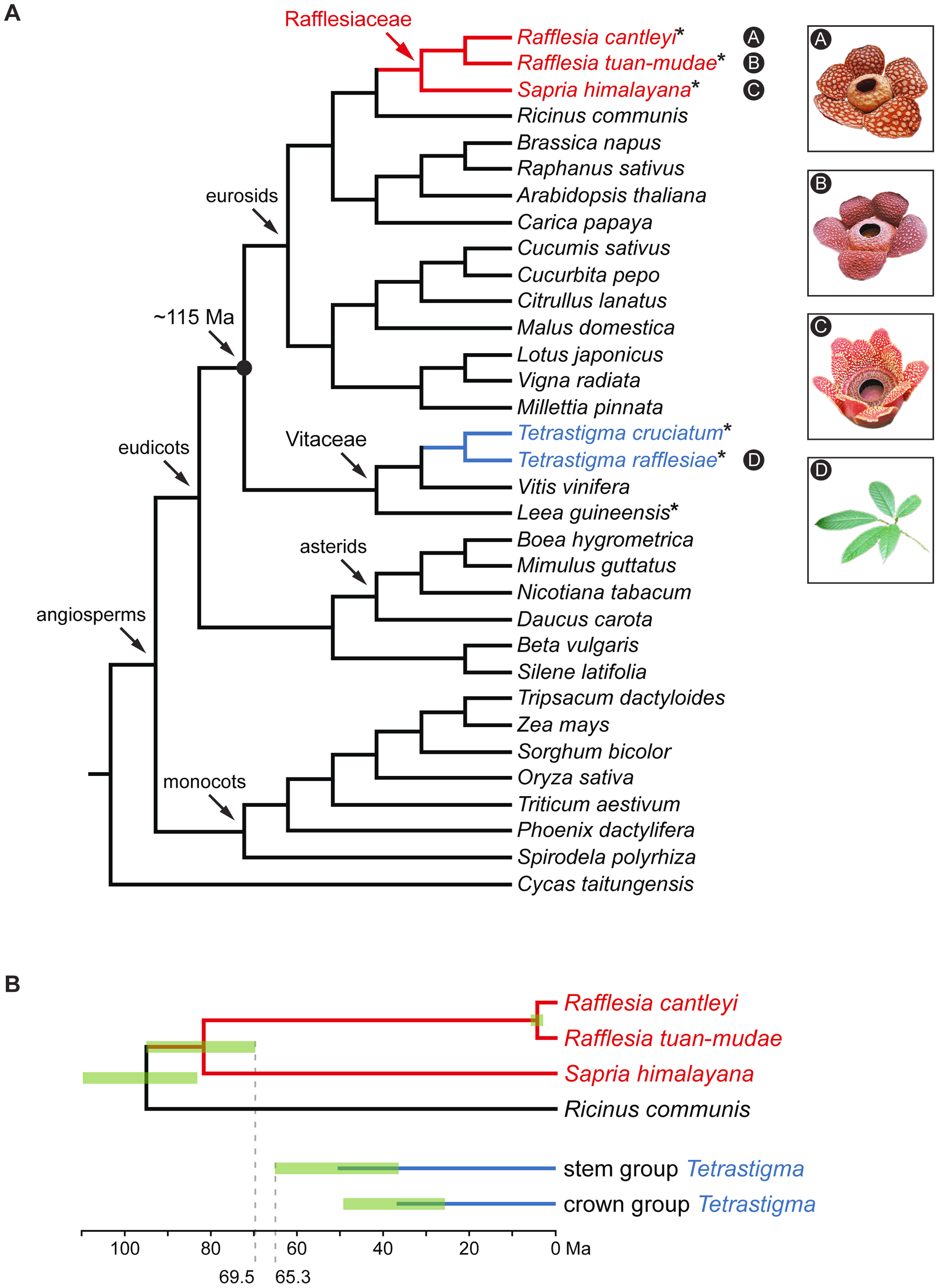Phylogenetic relationships and divergence times of the three Rafflesiaceae species and two <i>Tetrastigma</i> species included in this study.