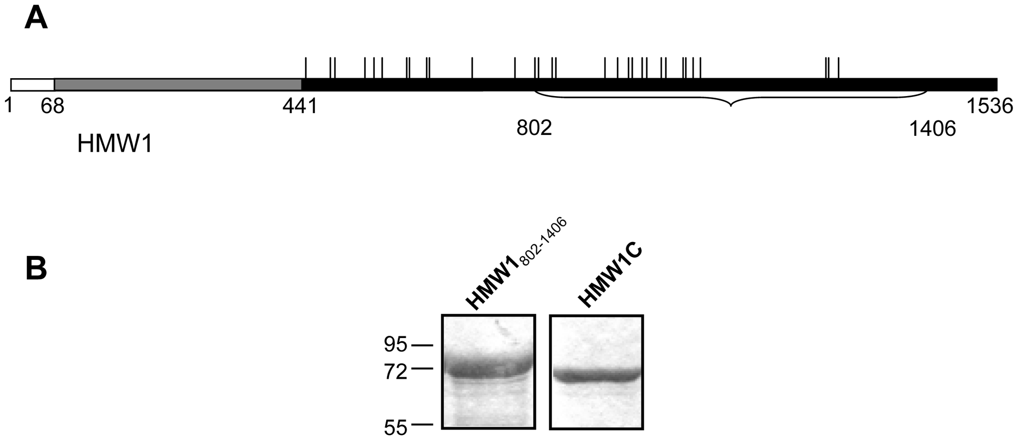 Purified proteins for examination of glycosylation of HMW1.