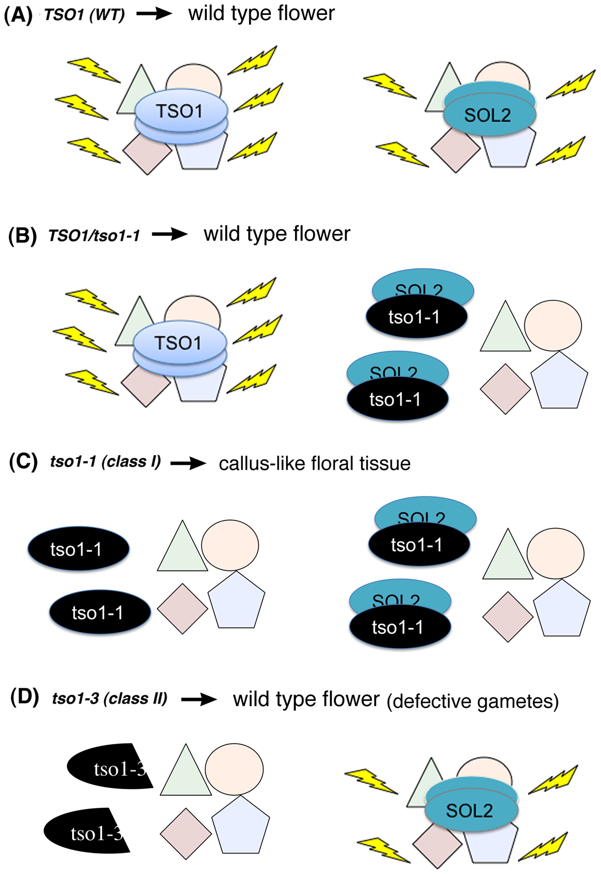 A proposed model on the molecular mechanism of <i>tso1-1</i> antimorphism in the context of flower development.