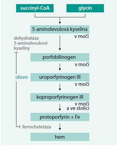 Schéma. Olovo a syntéza hemu: inhibice aktivity dehydratázy 5-aminolevulové kyseliny a ferochelatázy