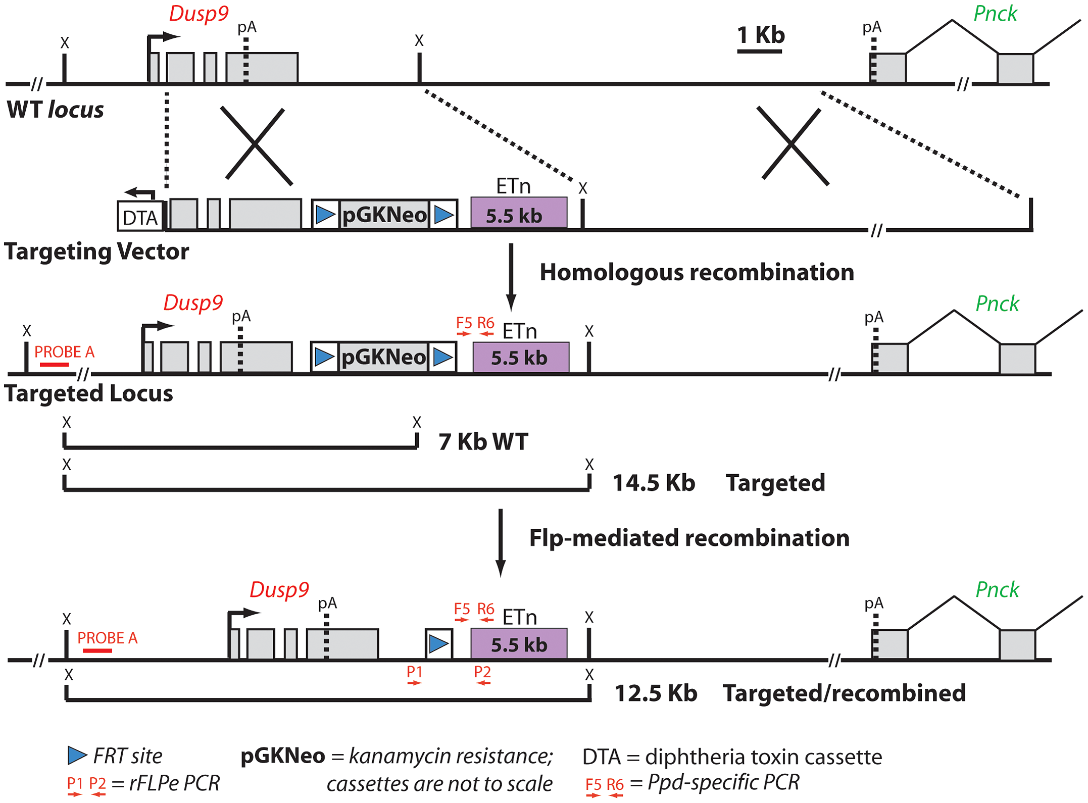 Schematic diagram of the targeting vector strategy and expected results of homologous recombination and Flp-mediated selection cassette removal.