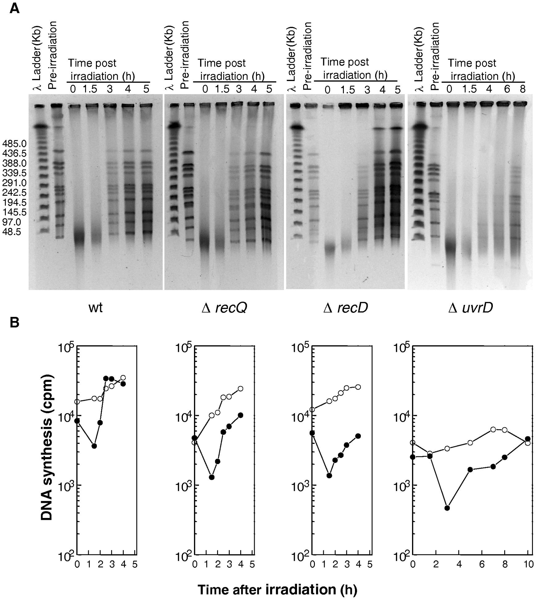 DNA repair and DNA synthesis in Δ<i>recQ</i>, Δ<i>recD</i>, and Δ<i>uvrD</i> mutants.