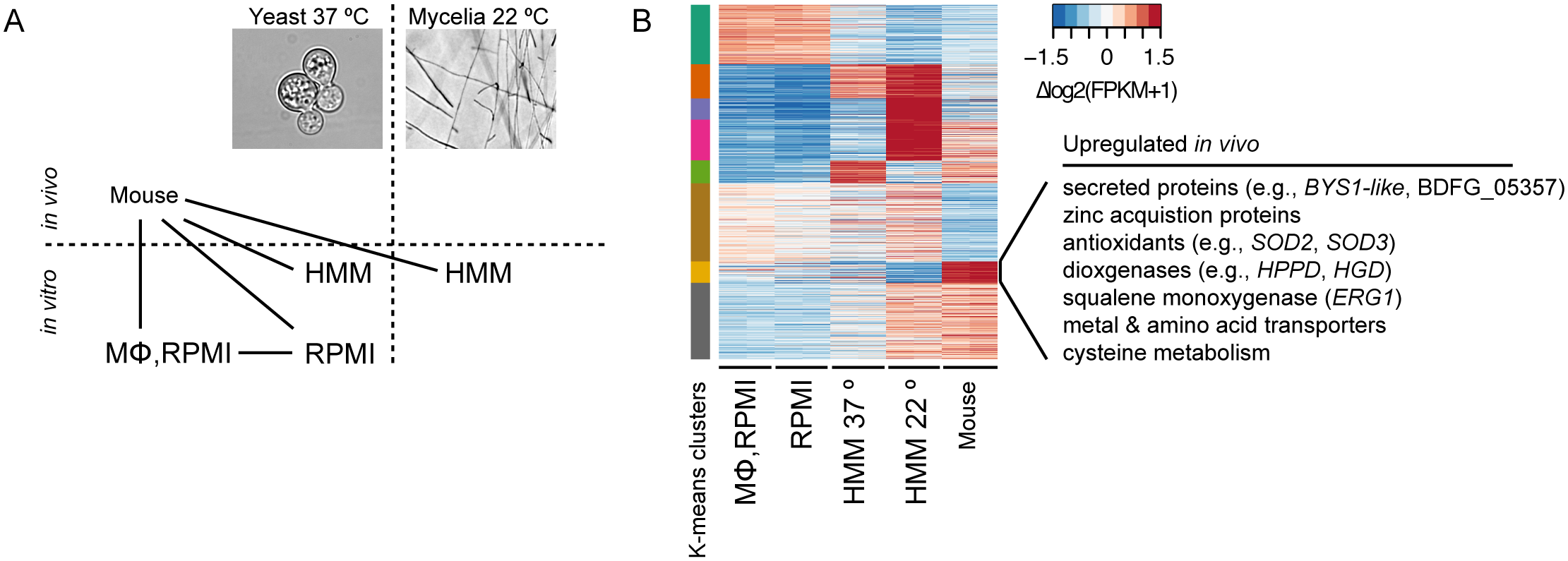 Transcriptional response of <i>B</i>. <i>dermatitidis</i> strain ATCC26199 to infection.
