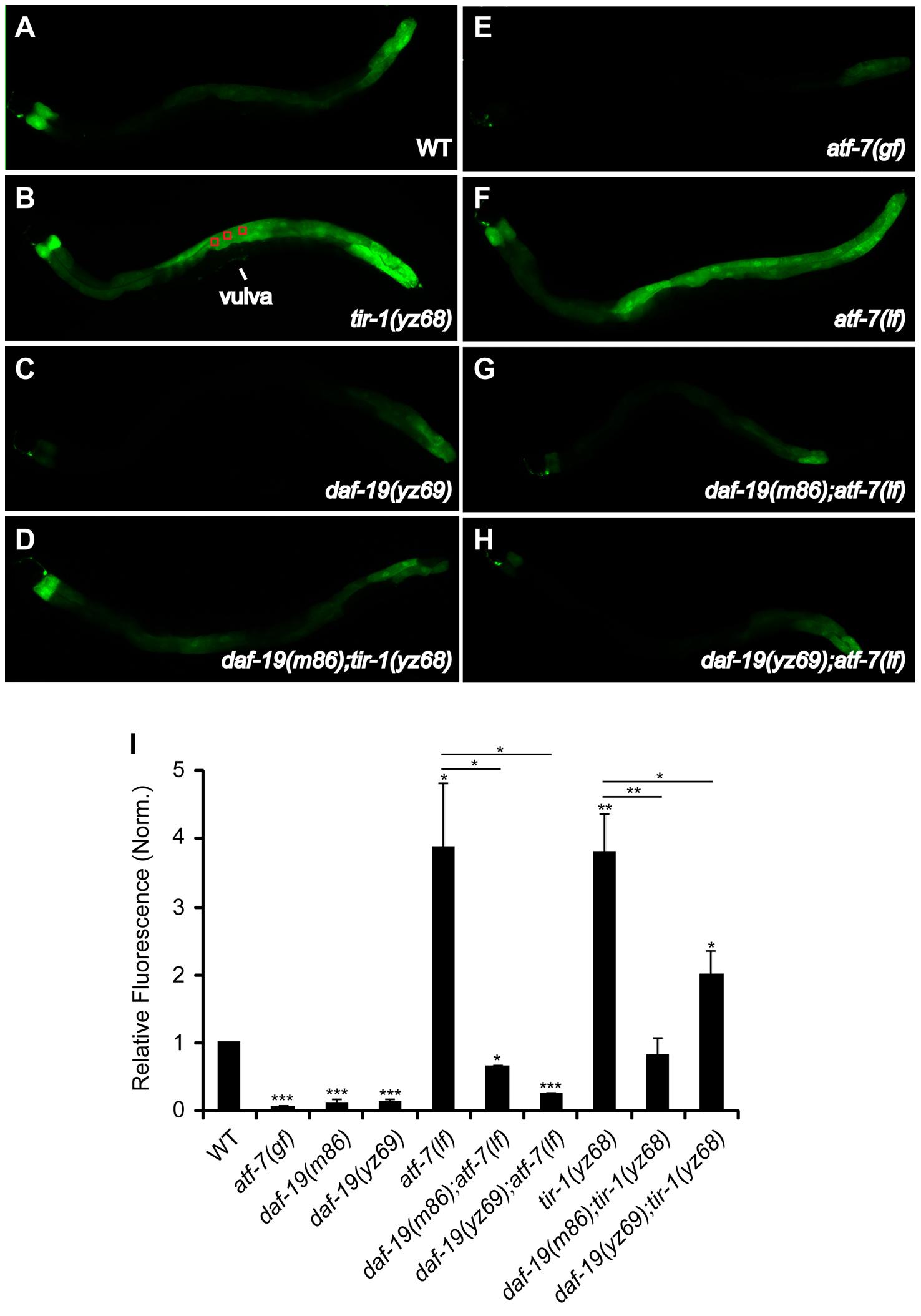 Reduced immune gene marker in the intestine of <i>daf-19</i> mutants.