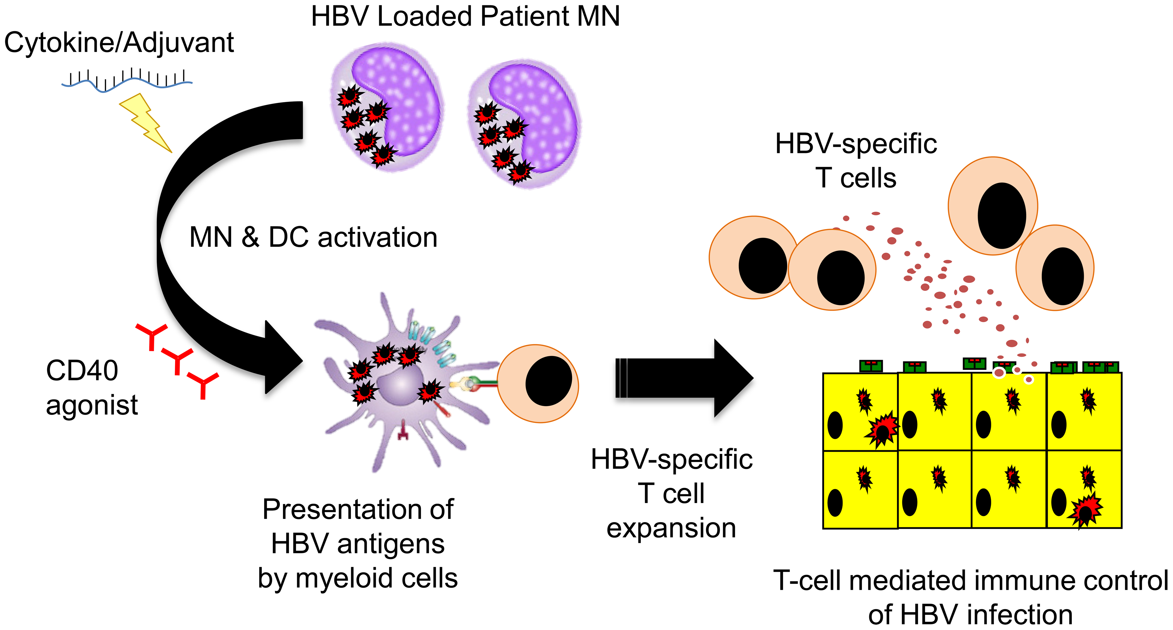 Schematic representation of the potential ability of HBV-loaded monocytes <em class=&quot;ref&quot;>[22]</em> to stimulate HBV-specific T cells trough TLR <em class=&quot;ref&quot;>[20]</em> or anti-CD40 agonists <em class=&quot;ref&quot;>[21]</em>.