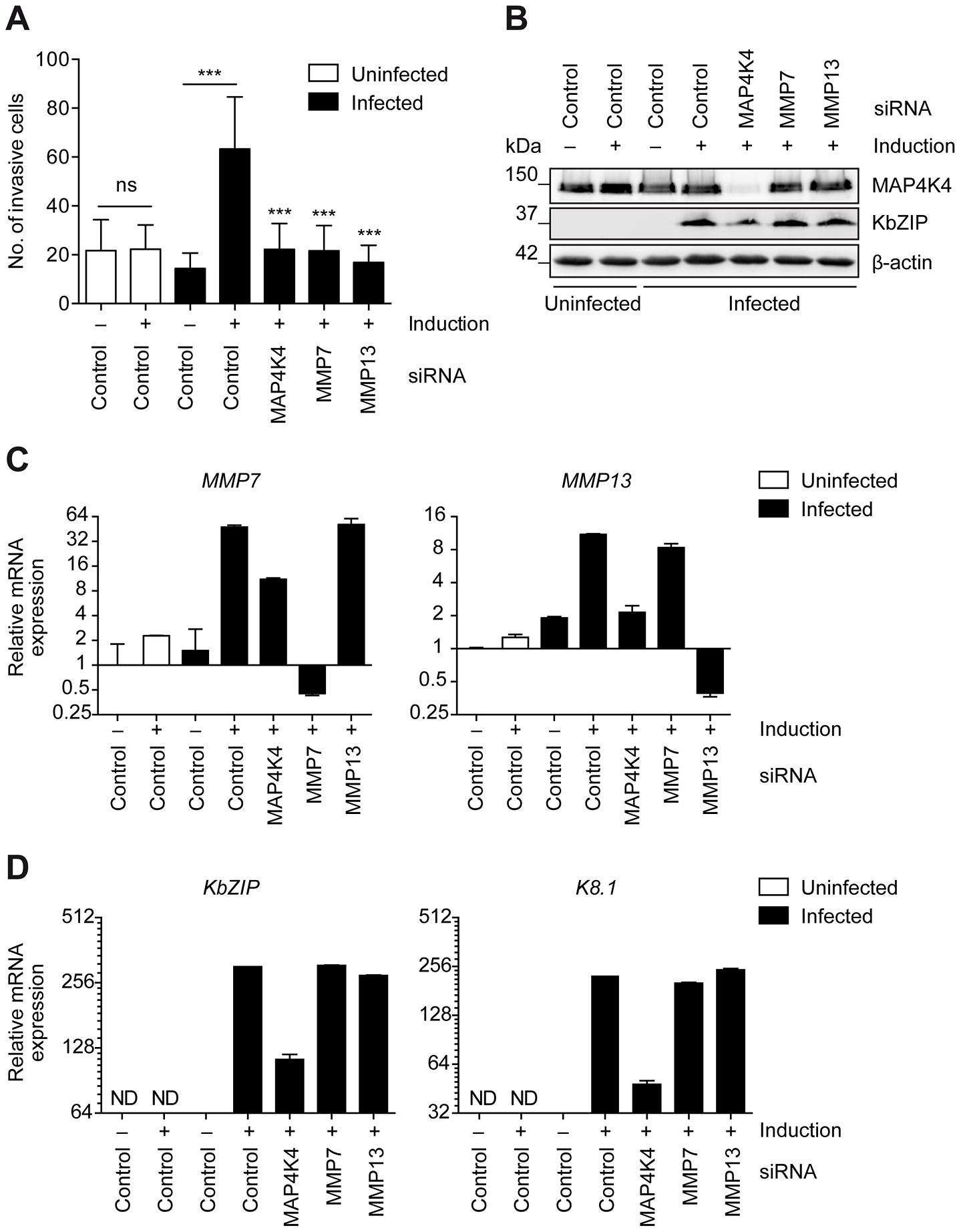 MMP7 and MMP13 are required for the invasiveness of KSHV-infected endothelial cells.