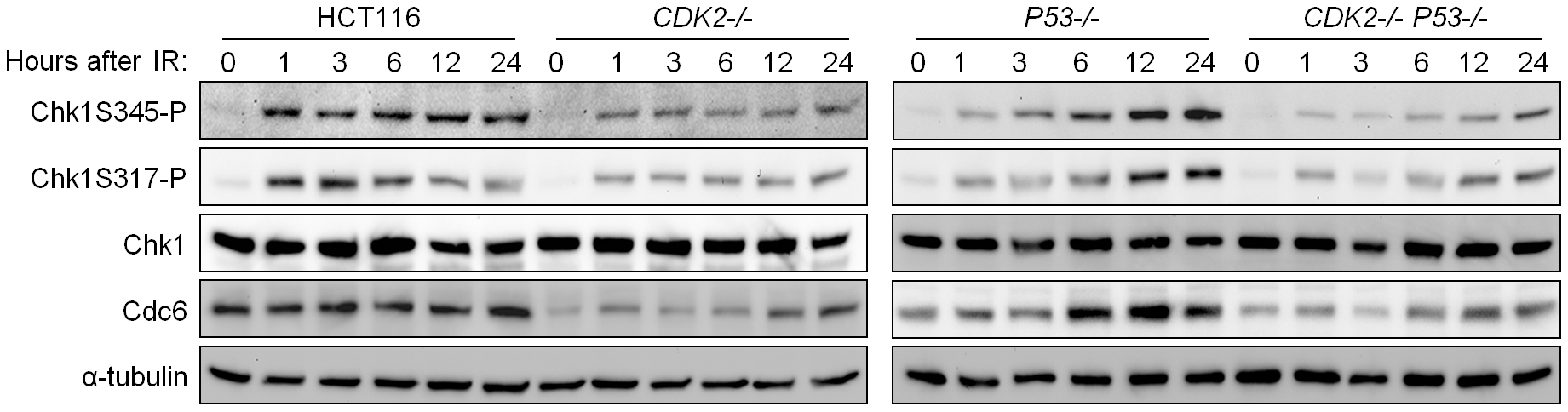 Impaired phosphorylation of Chk1 in Cdk2-deficient cells.