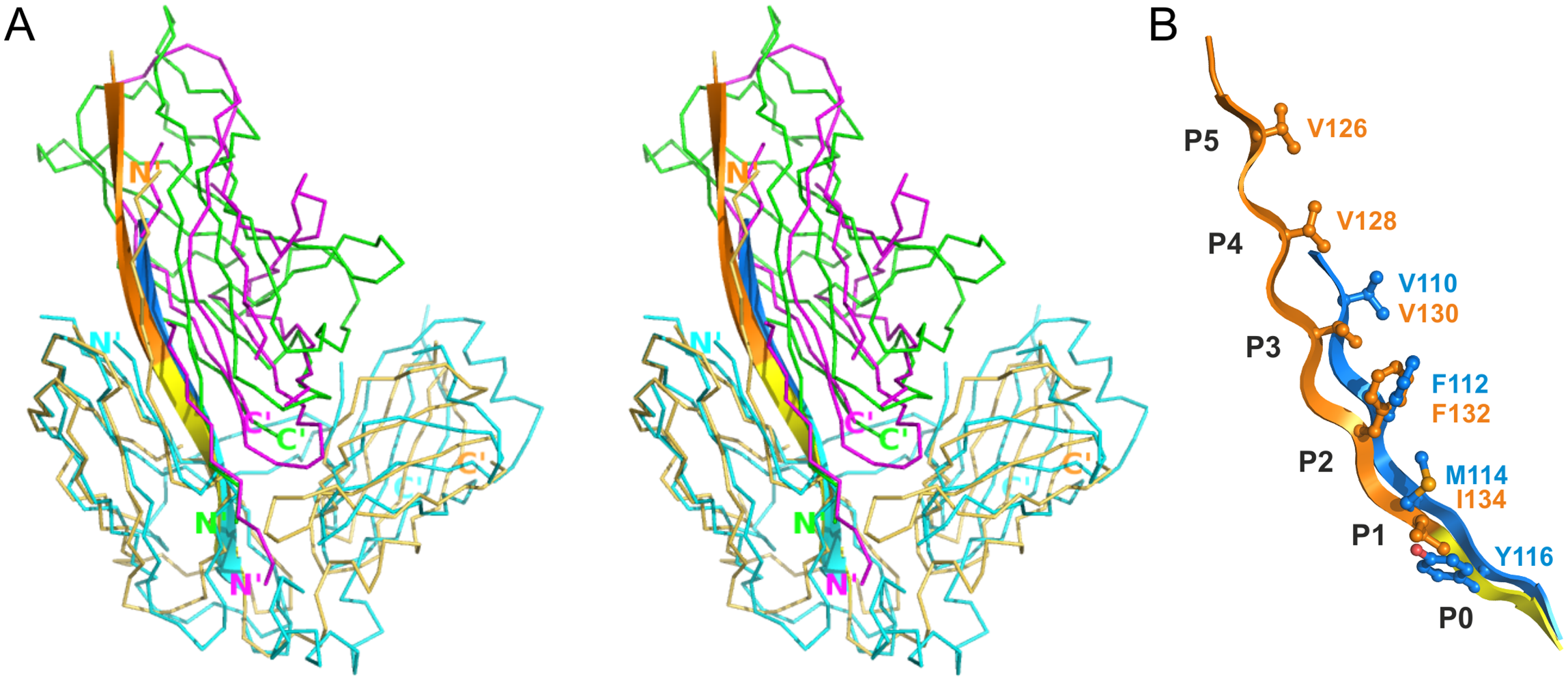 Differences in the register of donor residues and position of the subunit in CsuC:CsuA/B and complexes from classical systems.