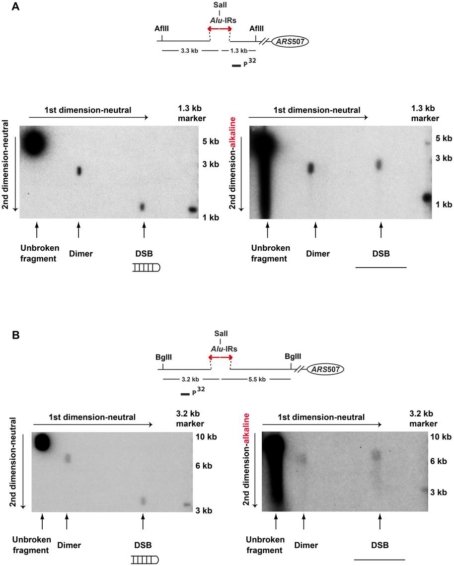 2D neutral/alkaline gel analysis of <i>Alu</i>-IR-induced DSBs in theTET-<i>POL3</i>Δ<i>sae2</i> strain.