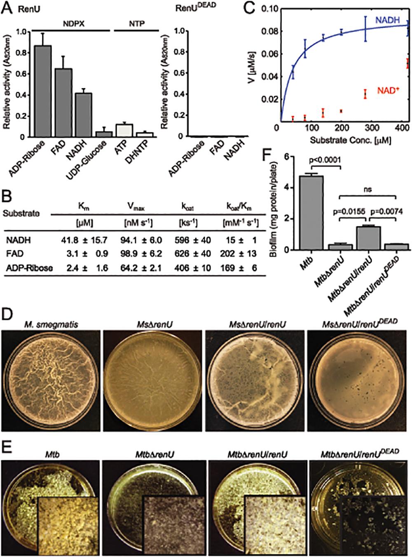 <i>renU</i> encodes a Nudix hydrolase required for biofilm growth.