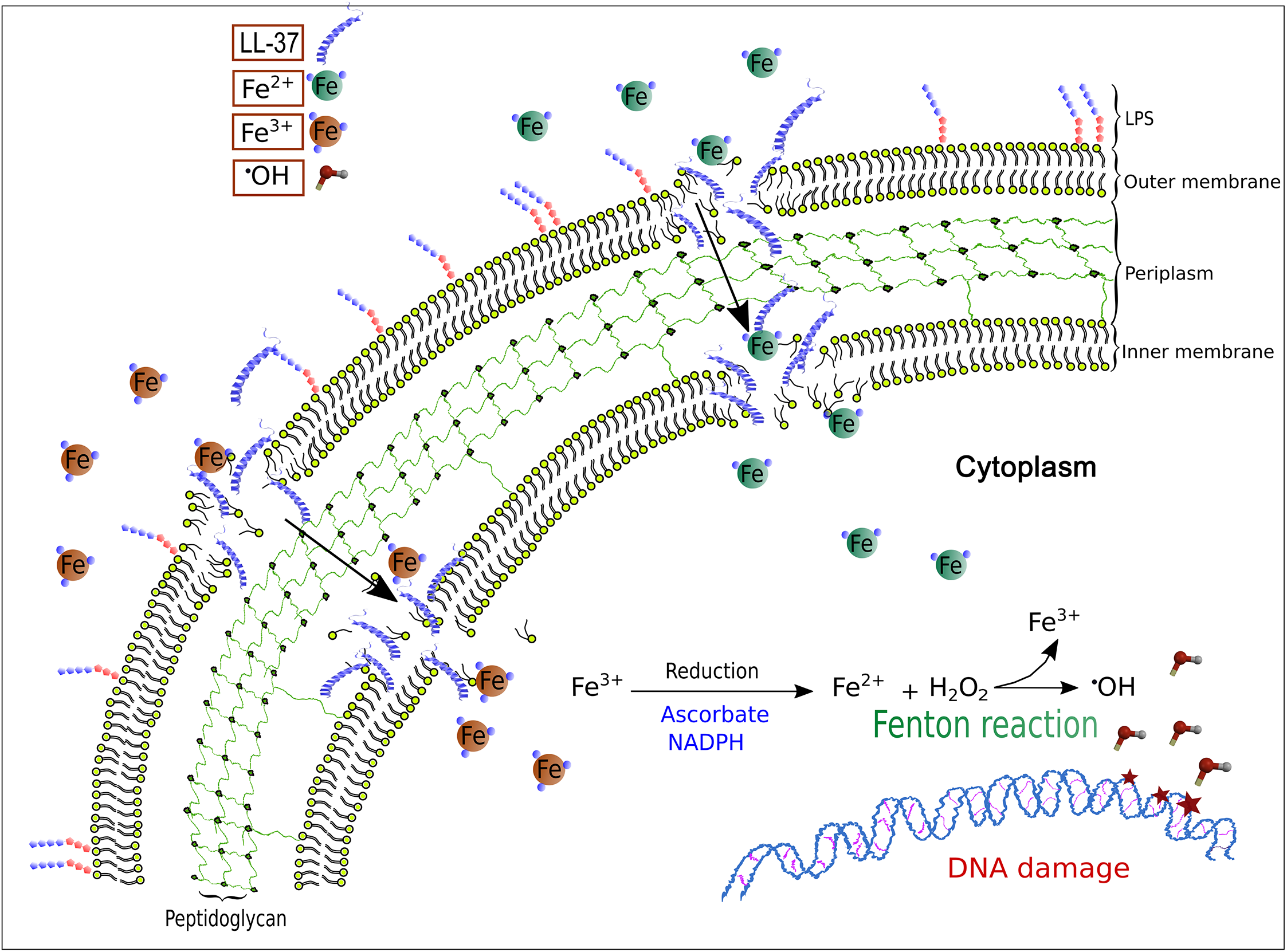 A model for LL-37-mediated, iron–induced mutagenesis in <i>Pseudomonas aeruginosa</i>.