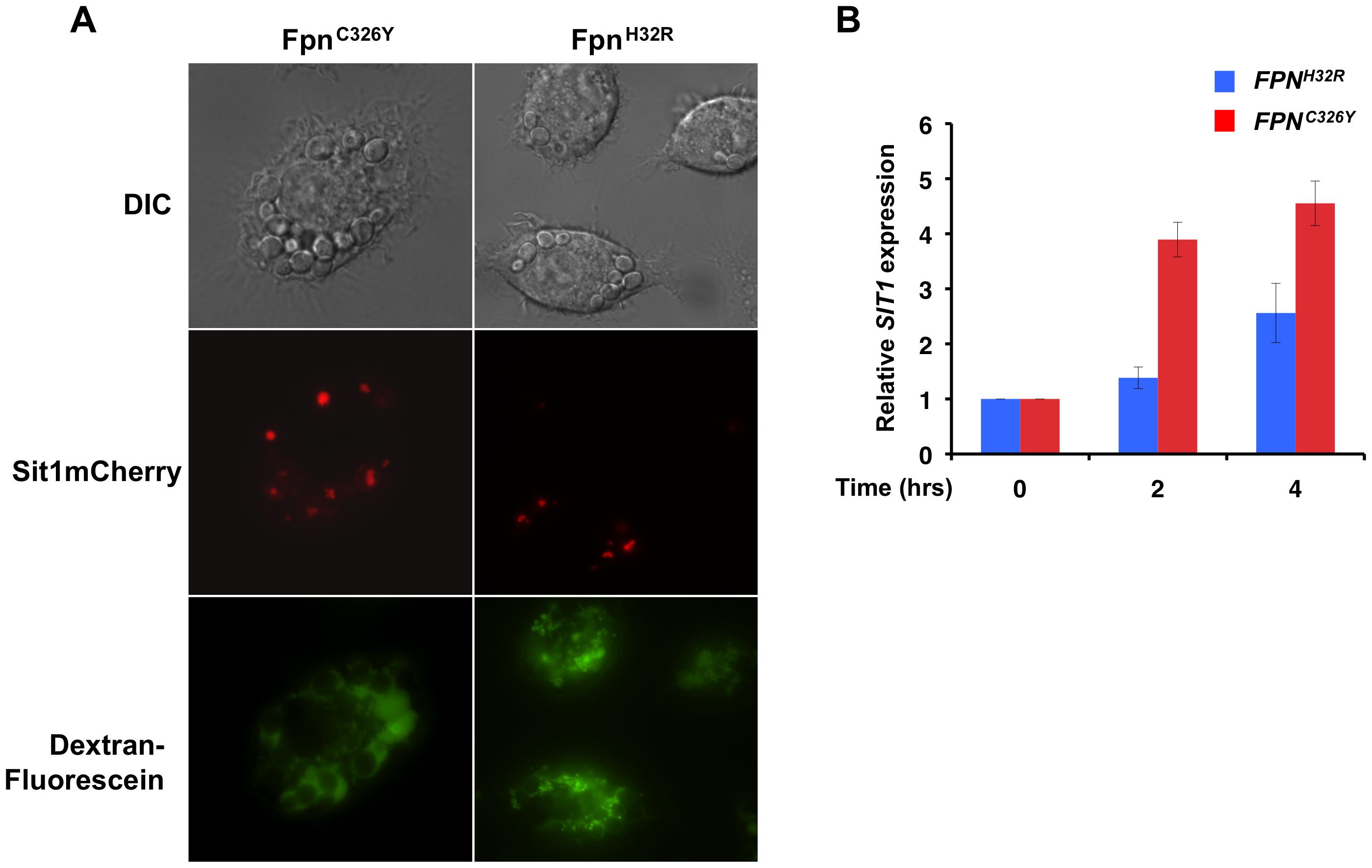 <i>C. glabrata</i> is responsive to host intracellular labile Fe pools.