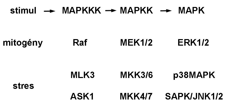 Signálna dráha mitogénom aktivovaných proteínkináz