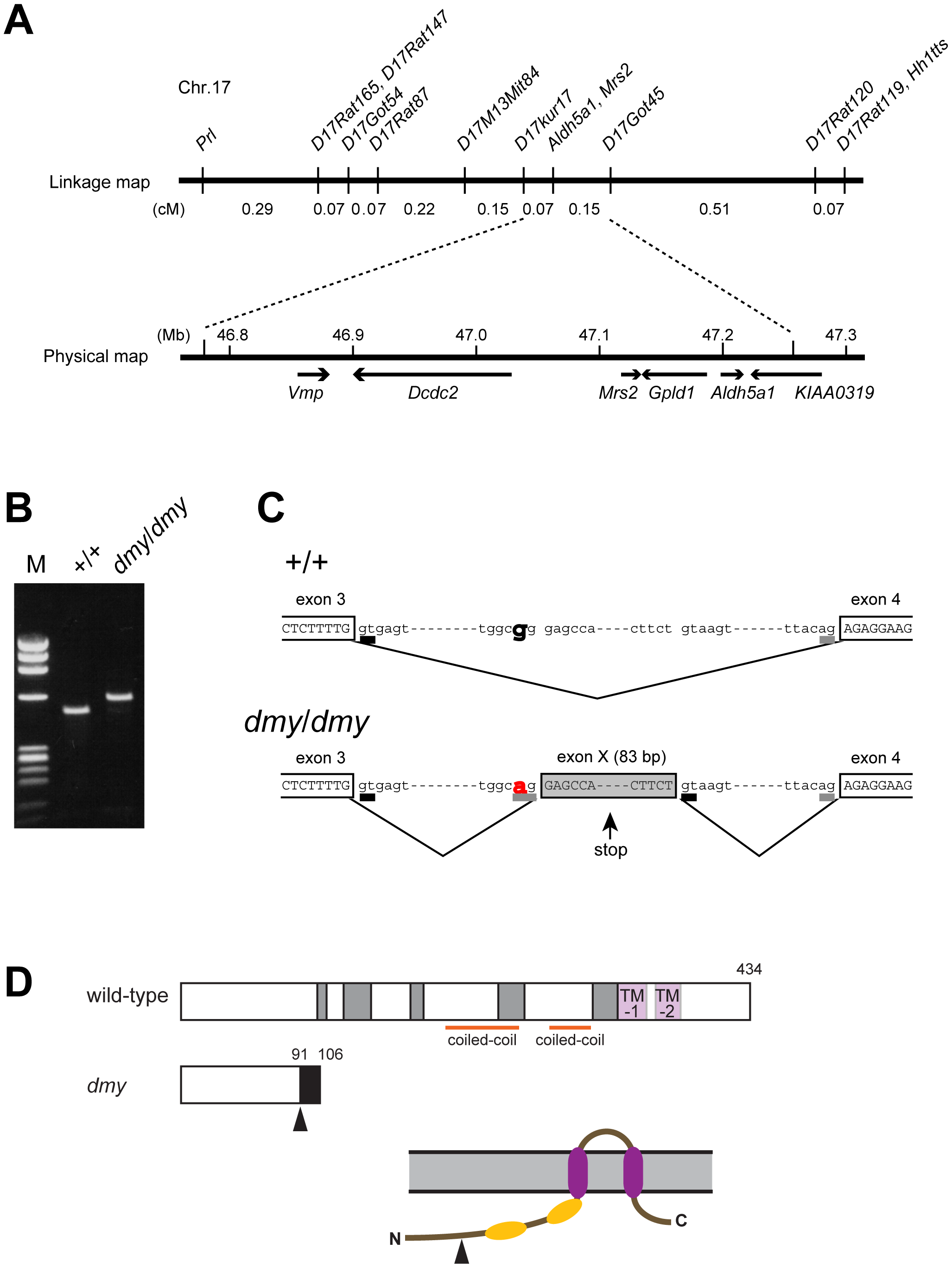 Positional cloning of the <i>dmy</i> mutation.
