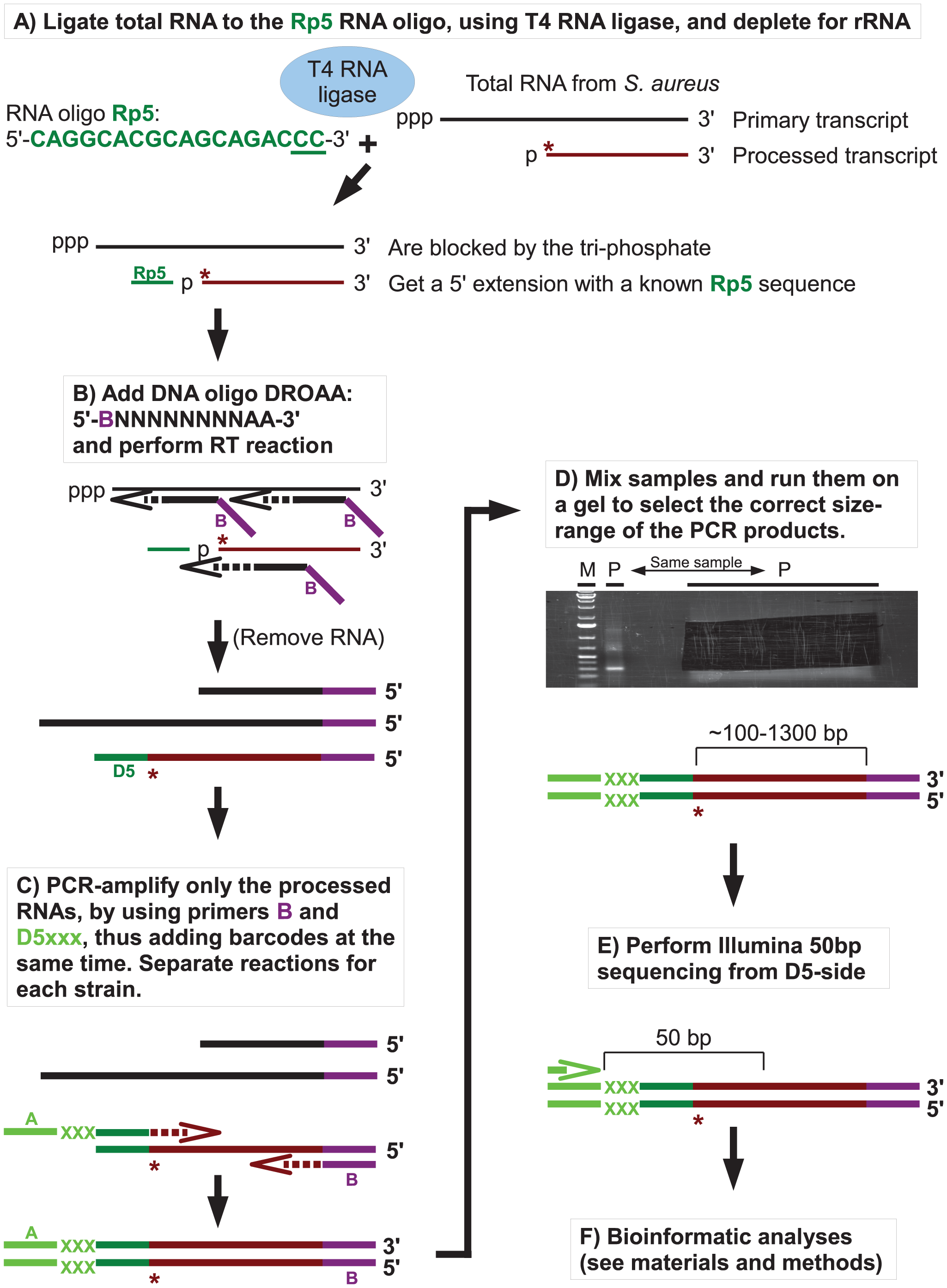 Flowchart showing the mapping of 5′ RNA ends with the EMOTE assay.