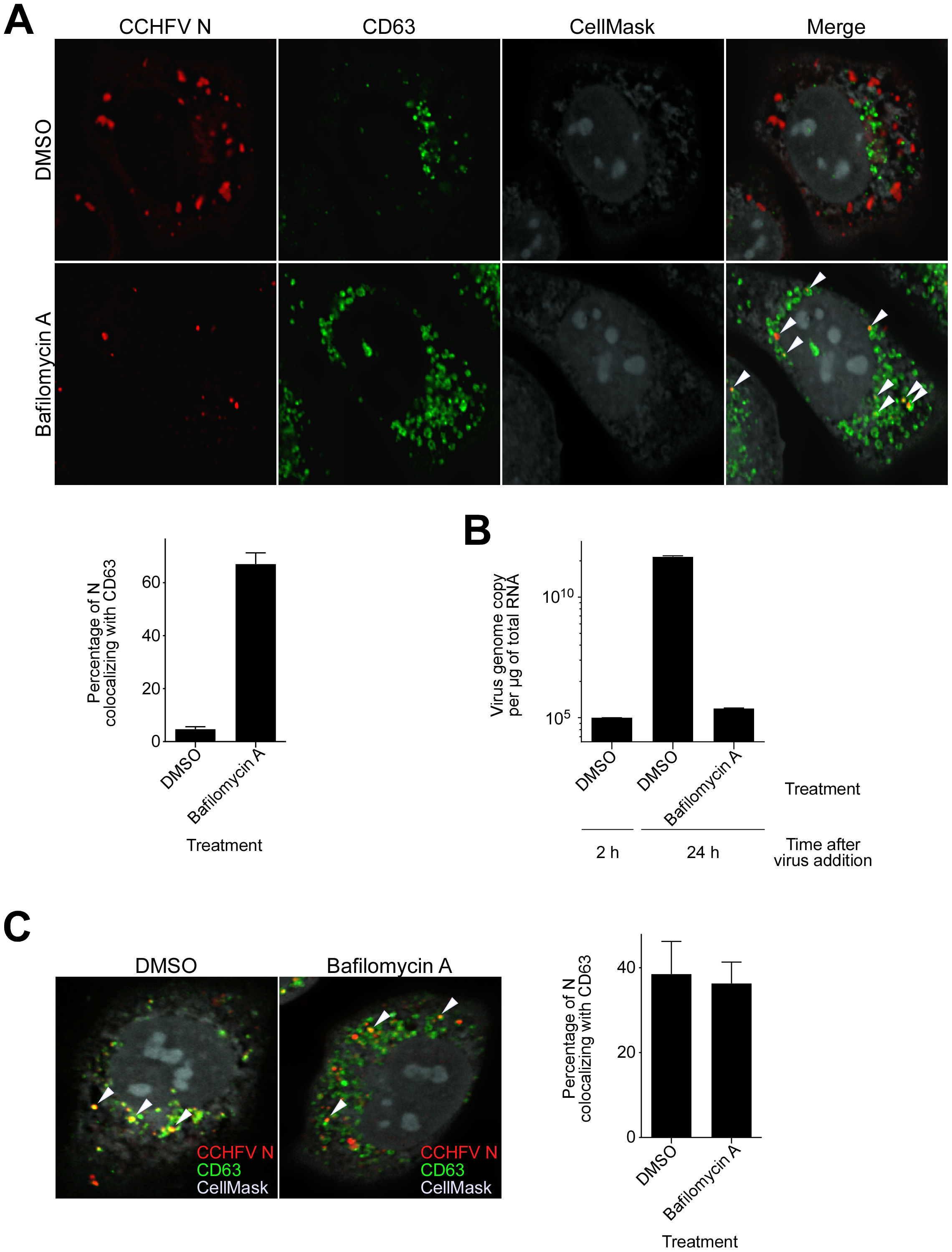 Bafilomycin A treatment results in accumulation of CCHFV in MVBs and blocks virus replication.