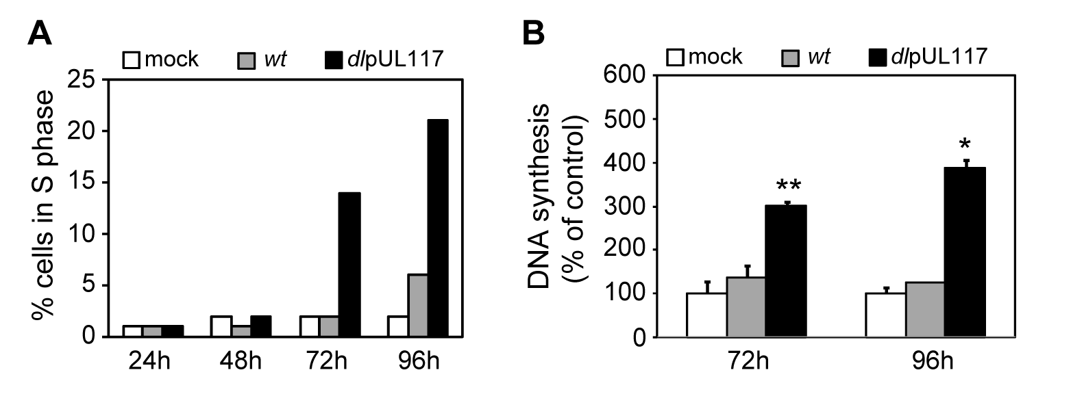 pUL117-deficient virus stimulated host DNA synthesis of quiescent HFFs in the absence of serum.