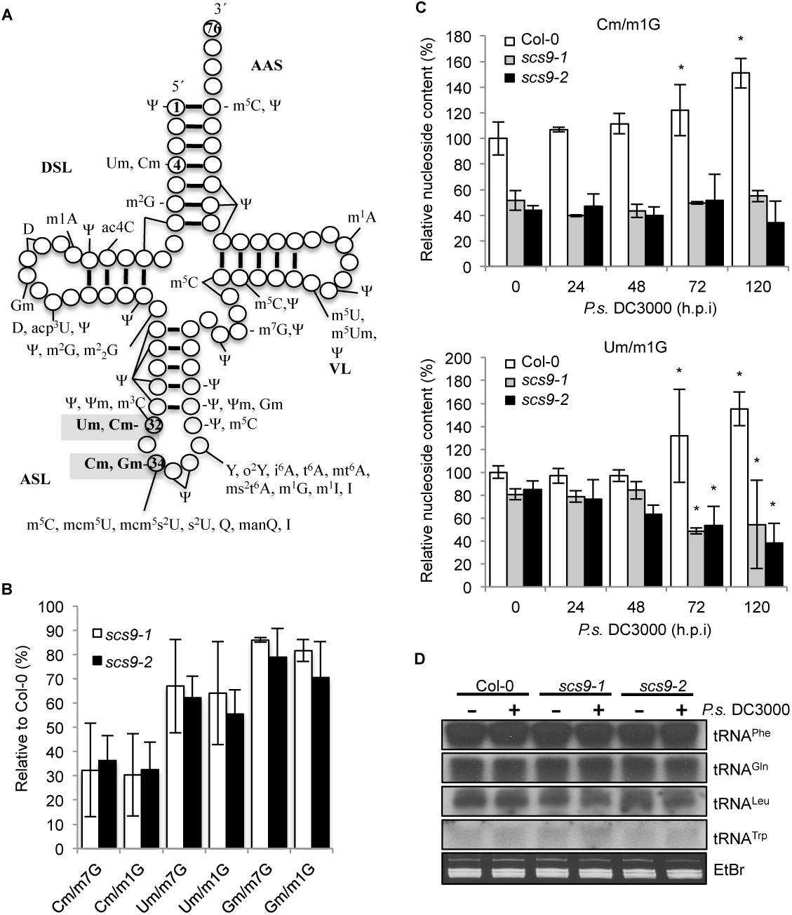 Reduced content of tRNA-derived 2'-<i>O</i>-methylcytosine (Cm), 2'-<i>O</i>-methyluracil (Um) and 2'-<i>O</i>-methylguanine (Gm) in <i>scs9-1</i> and <i>scs9-2</i> mutants.