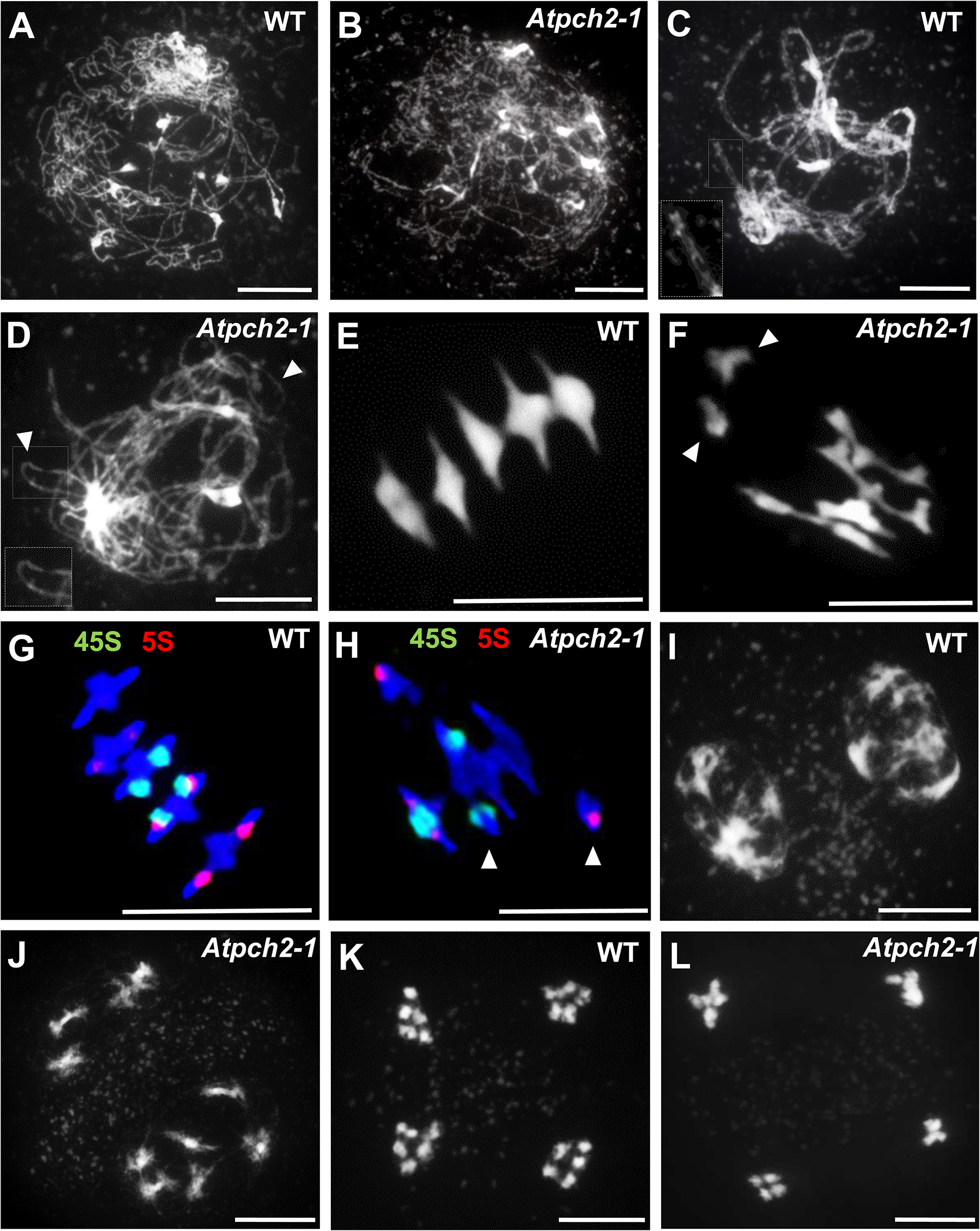 Meiotic stages from wild type Arabidopsis and <i>Atpch2-1</i> pollen mother cells.