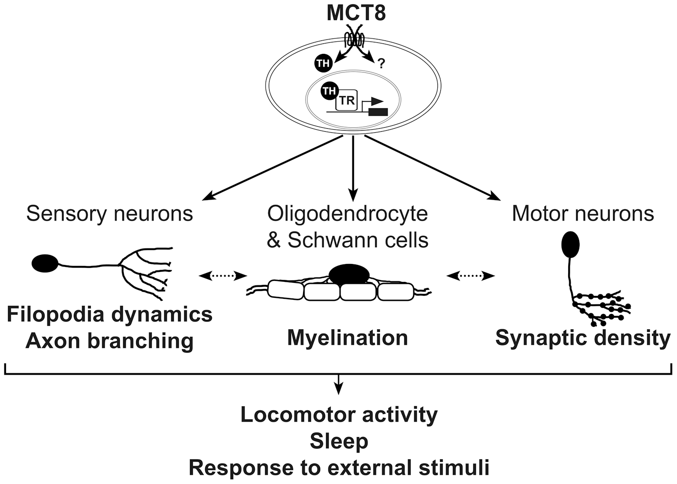 A proposed model for the mechanism underlying MCT8 deficiency.