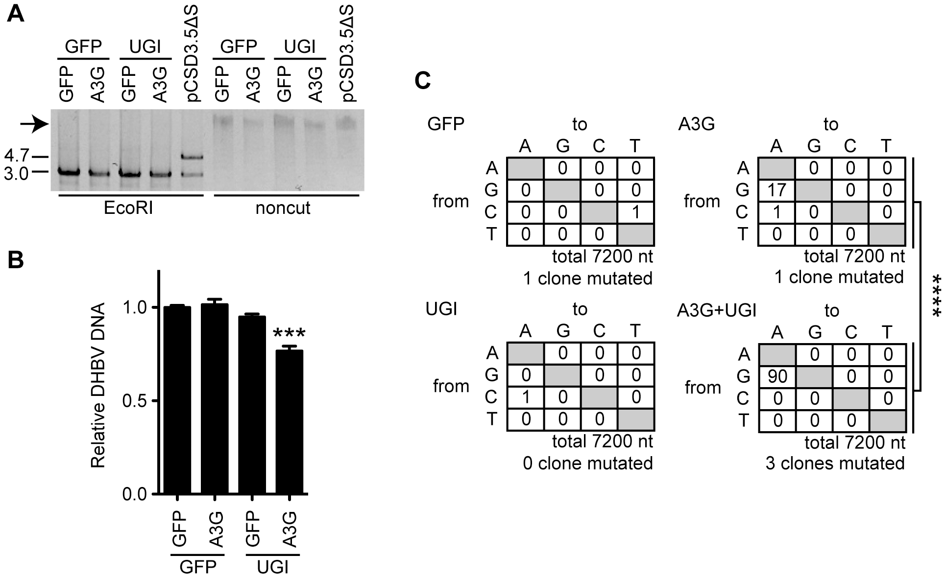 UNG inhibition decreases the replication activity of DHBV cccDNA in the presence of A3G expression.