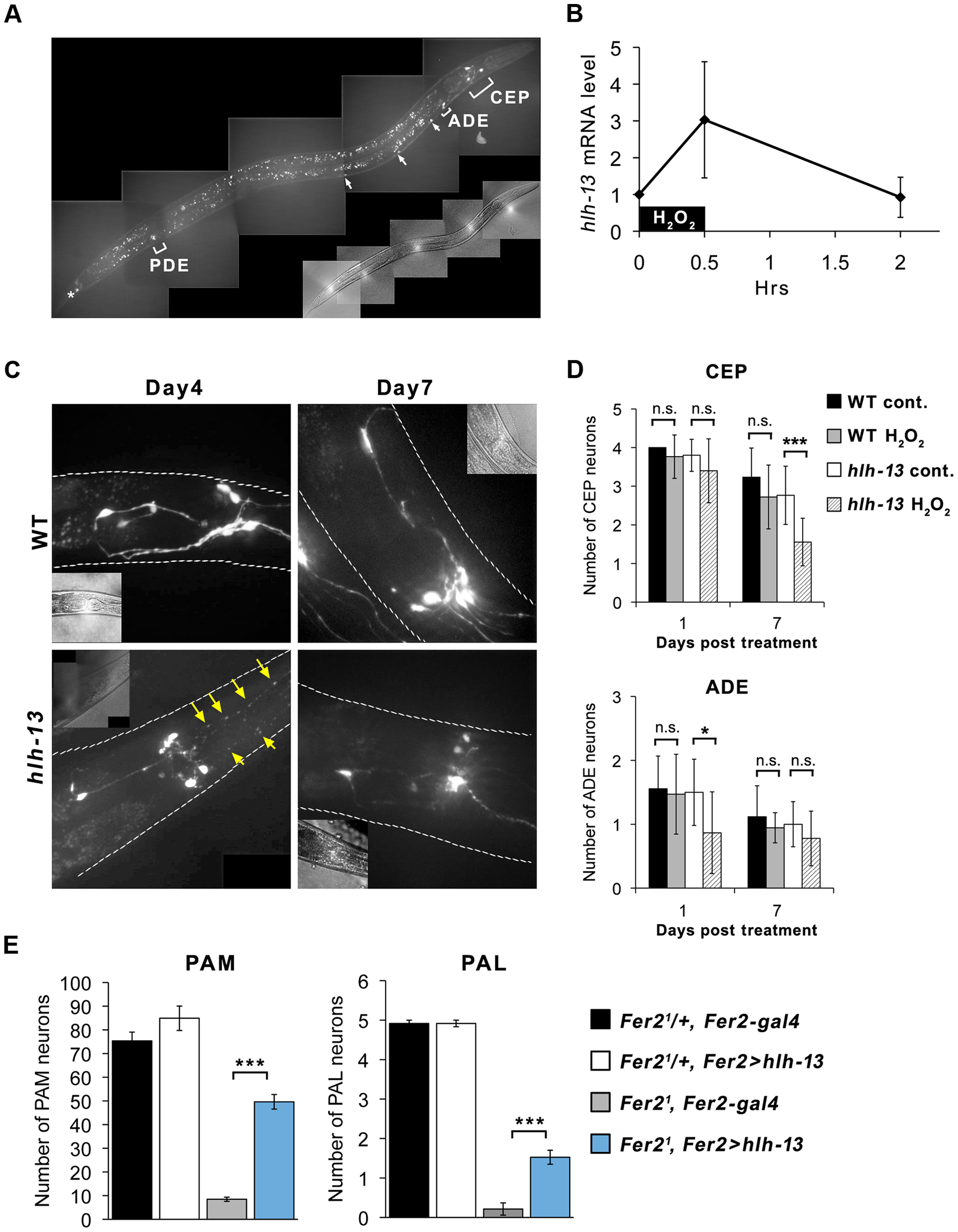 <i>C.elegans hlh-13</i> and <i>Drosophila Fer2</i> share a role in DA neuron protection under oxidative stress.