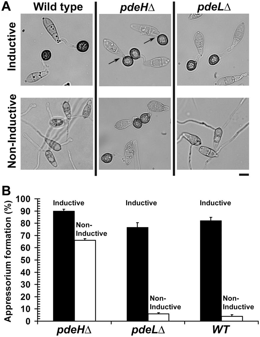 <i>PDEH</i> deletion abolishes surface dependency during pathogenesis.