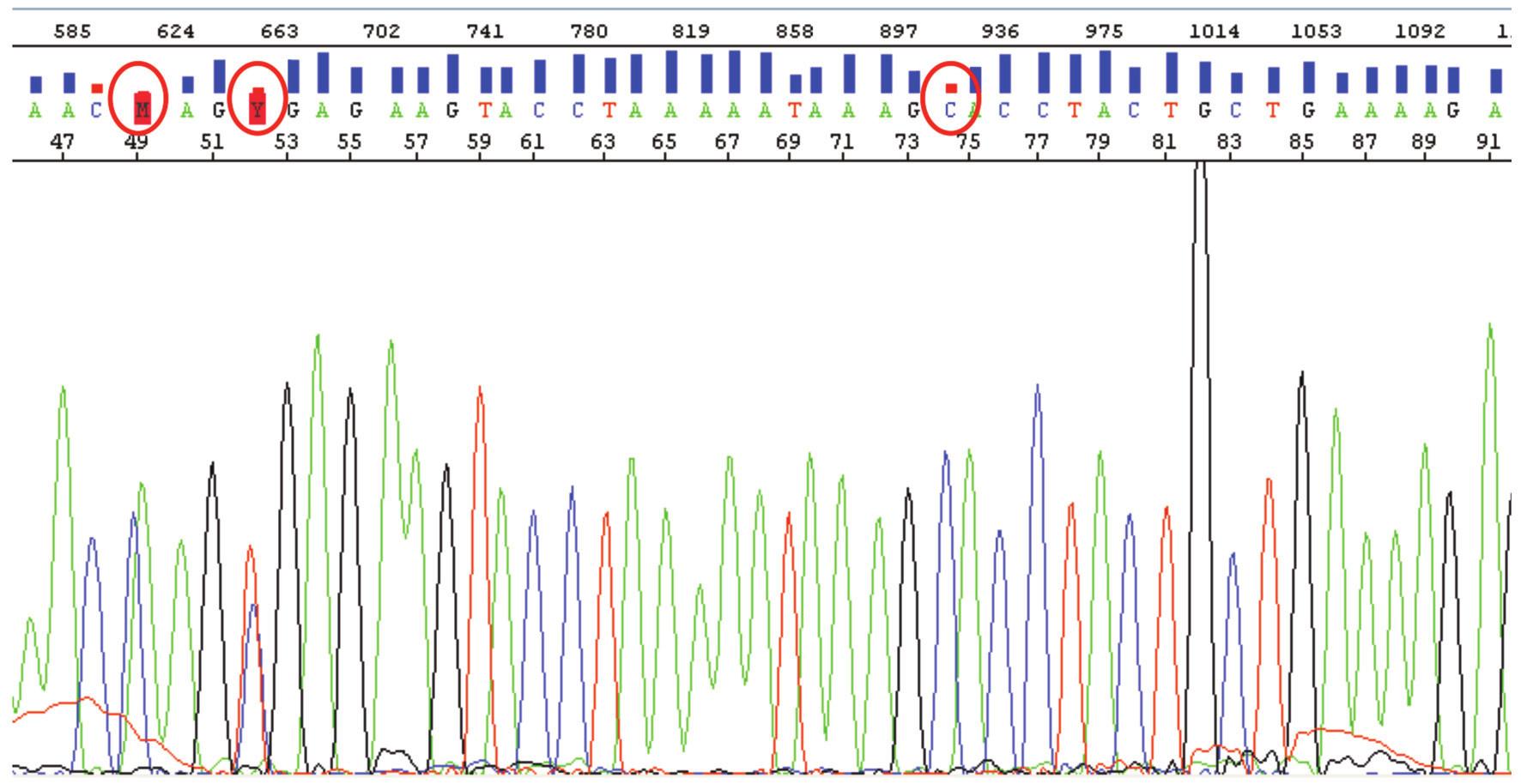 """Výstup ze sekvenátoru s analýzou části exonu 15 genu APC (sekvence v rozsahu bází 46-91) s graficky vyznačenými Q-hodnotami (sloupec nad jednotlivými bázemi). Většina Q hodnot se pohybuje mezi 20 a 50 (pravděpodobnost správného vyhodnocení báze softwarem 99 % až 99,999 %). Zakroužkovány jsou problematicky určené báze. Báze nazvaná M na pozici 49 s Q hodnotou 1, je chybně určená jako C/A pík v jedné pozici. Jedná se o klasickou """"basecall"""" chybu vyhodnocovacího software. Správně je CA ve dvou za sebou jdoucích pozicích. Báze zvaná Y na pozici 52 má Q hodnotu 9 a jde o správně určenou mutaci genu APC. Mutace je v heterozygotním stavu, na jednom chromozomu """"wild-type"""" C, na druhém mutace vedoucí k záměně tohoto C za T. Báze C na pozici 74 opět s nízkou Q hodnotou je určená správně. Software pouze vzal v úvahu lehký překryv C a A píku."""