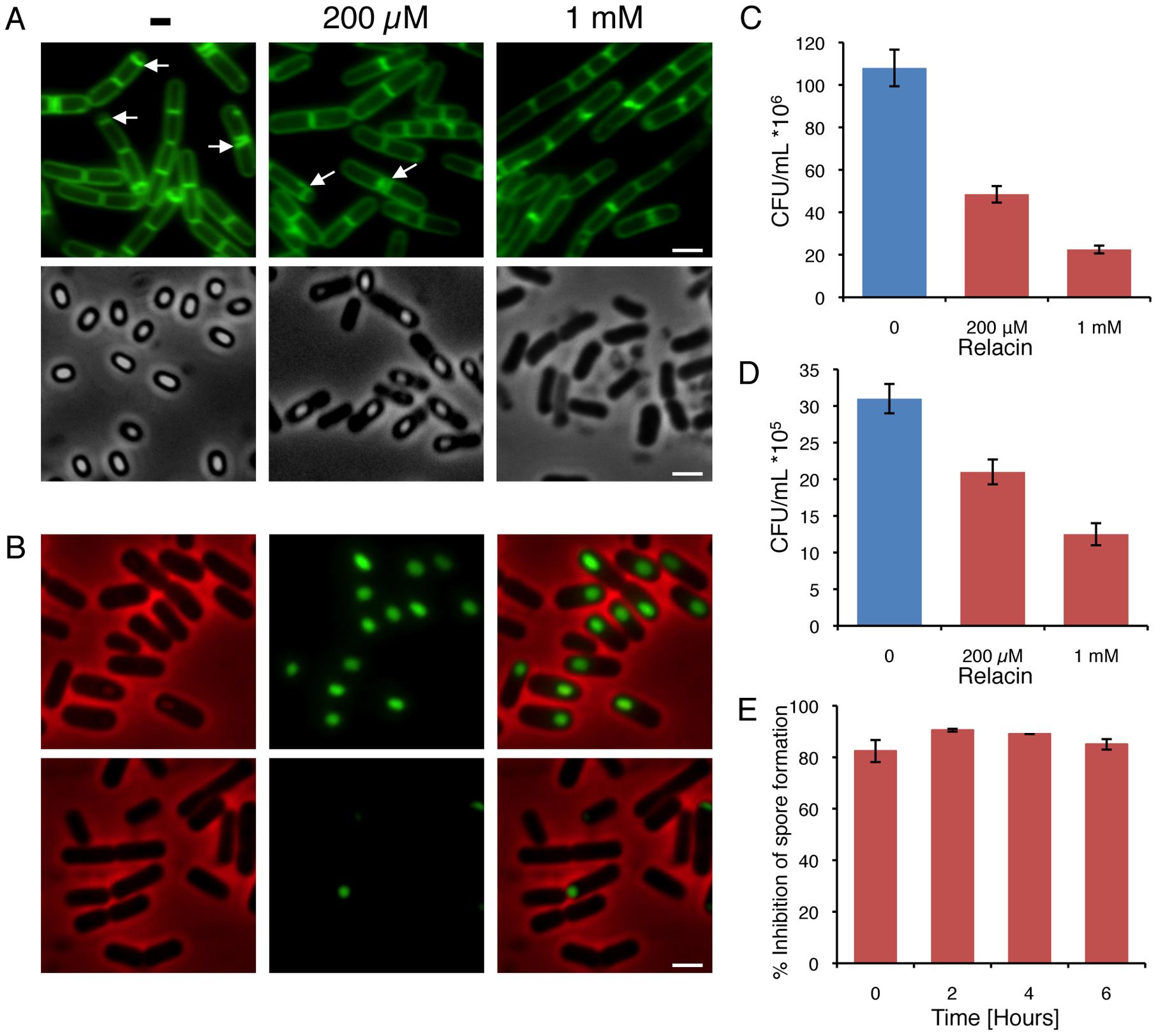 Relacin influences the sporulation process in <i>Bacilli</i>.