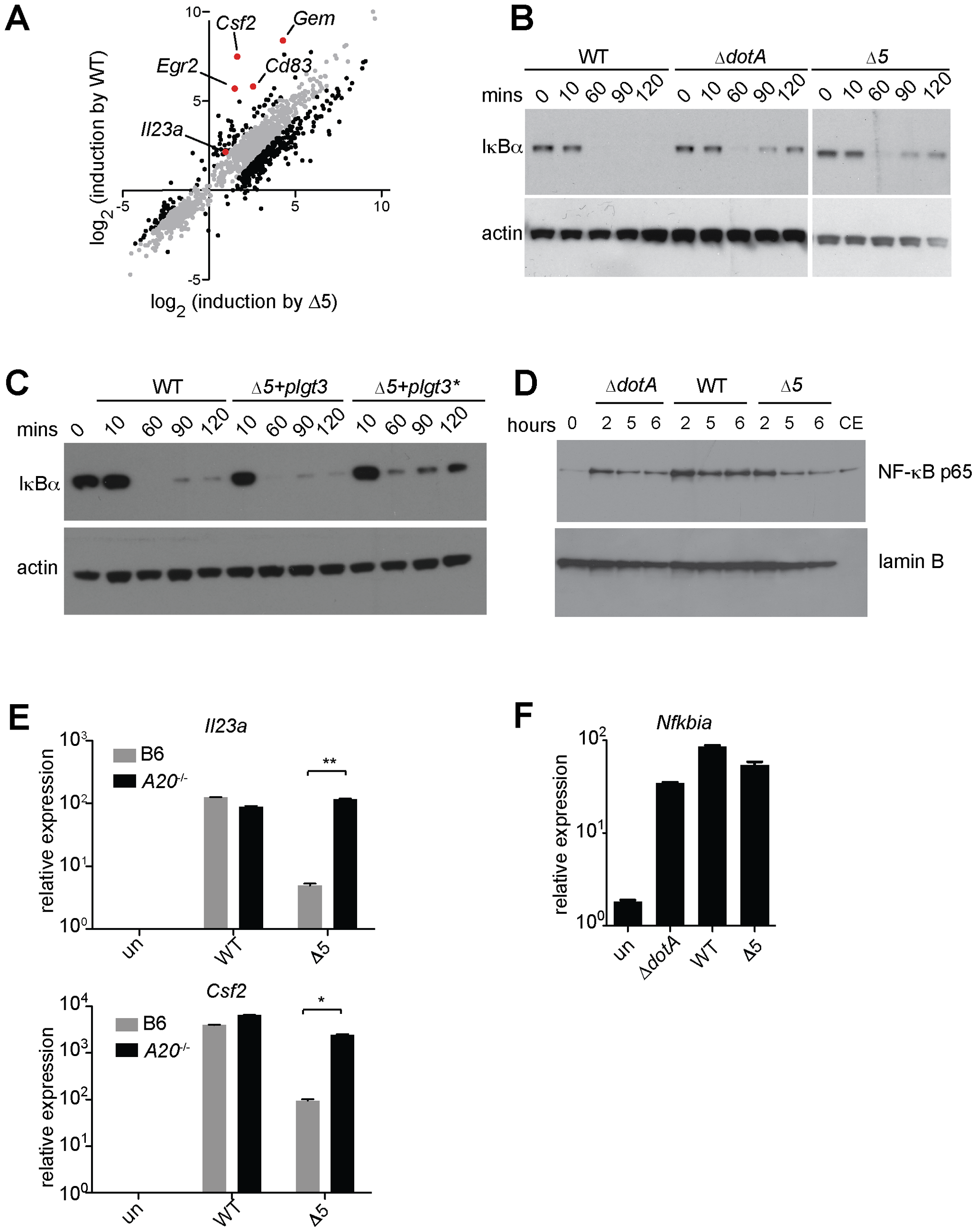 Expression of the 5 <i>L. pneumophila</i> effectors and induction of 'effector-triggered' genes correlates with sustained loss of inhibitors of the NF-κB transcription factor.