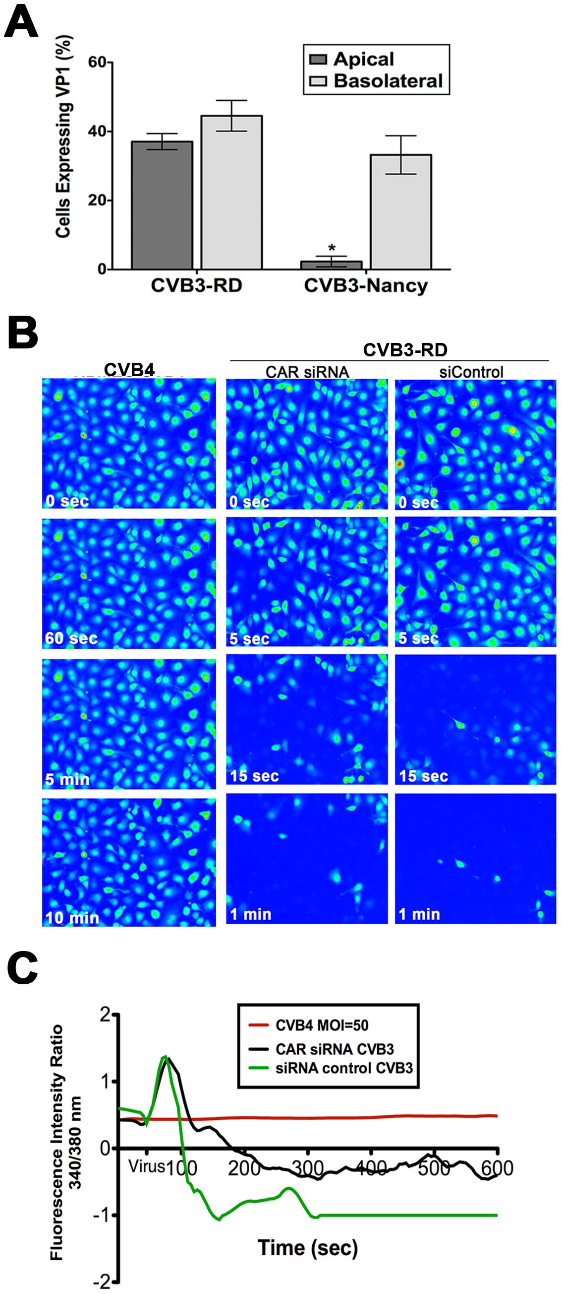 DAF mediates CVB-induced Ca<sub>i</sub><sup>2+</sup> release.