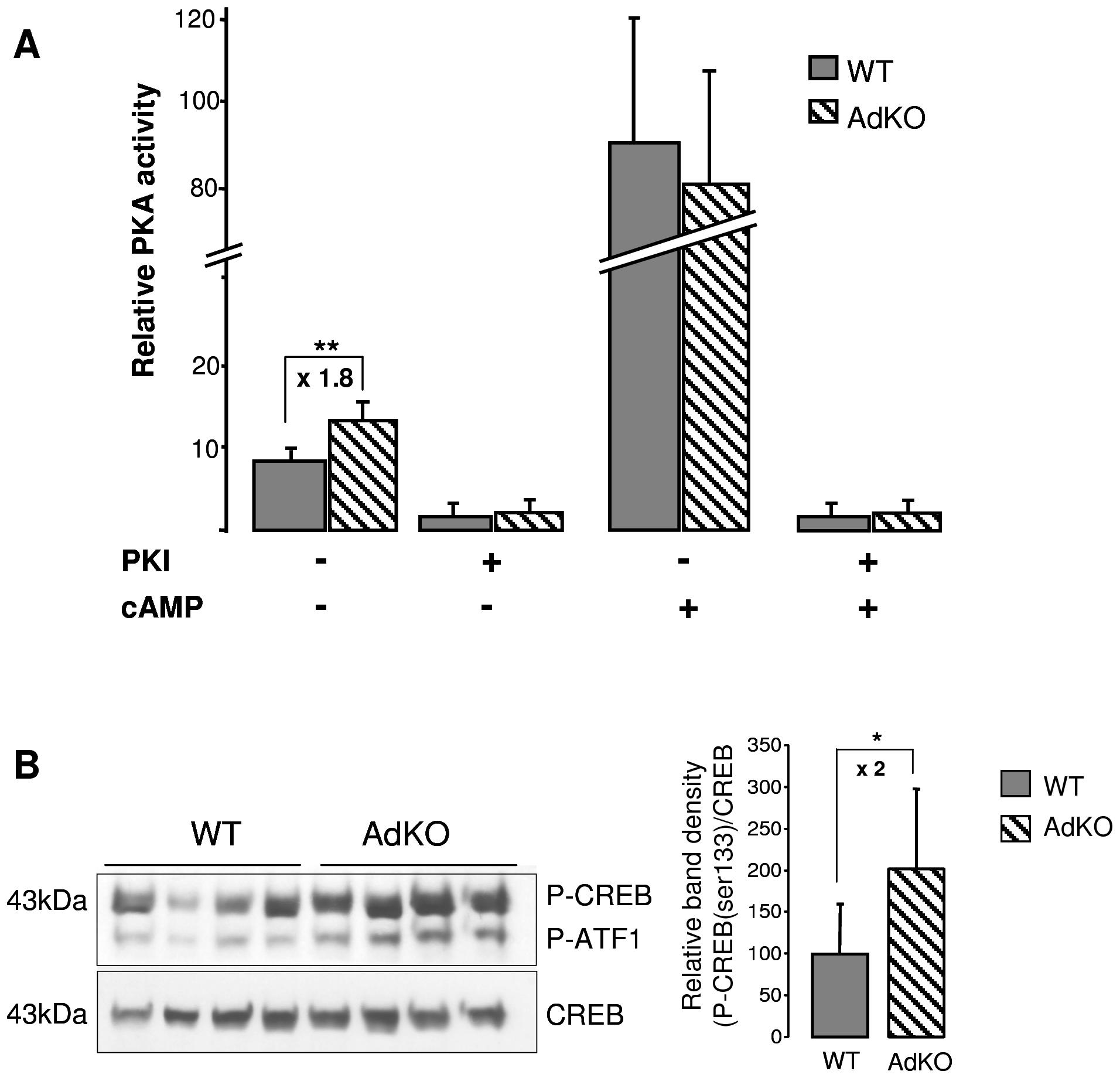PKA activity was increased in AdKO adrenals.