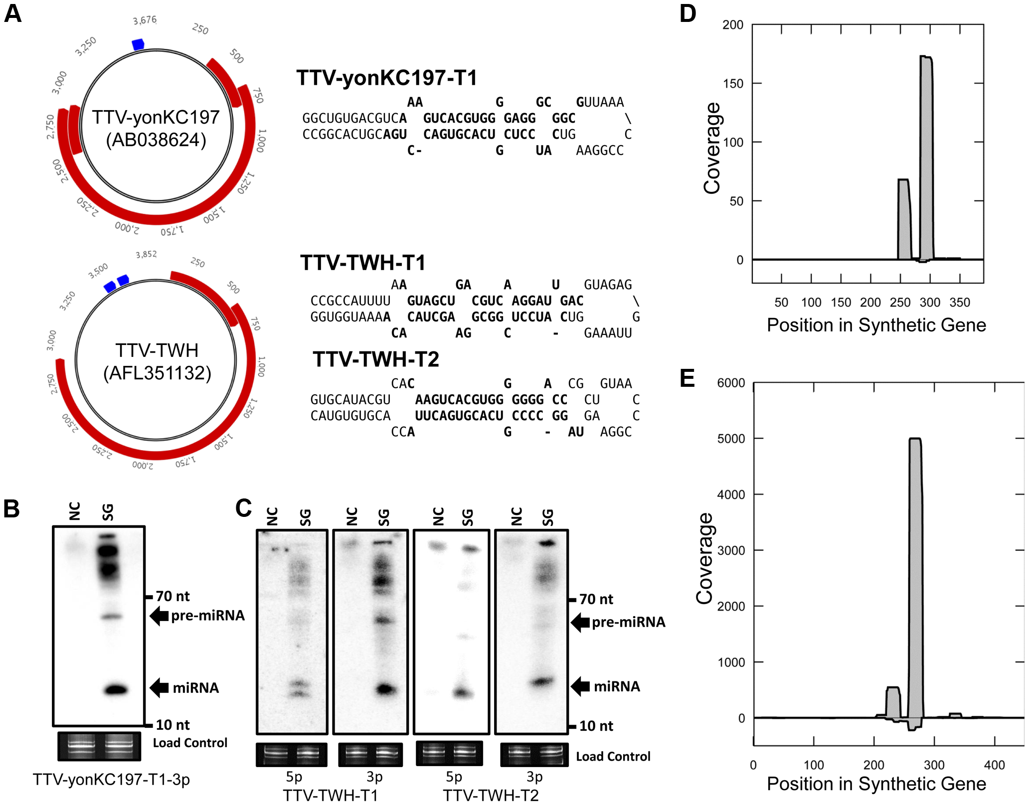 A combined computational and synthetic approach identifies TTV encoded miRNAs.