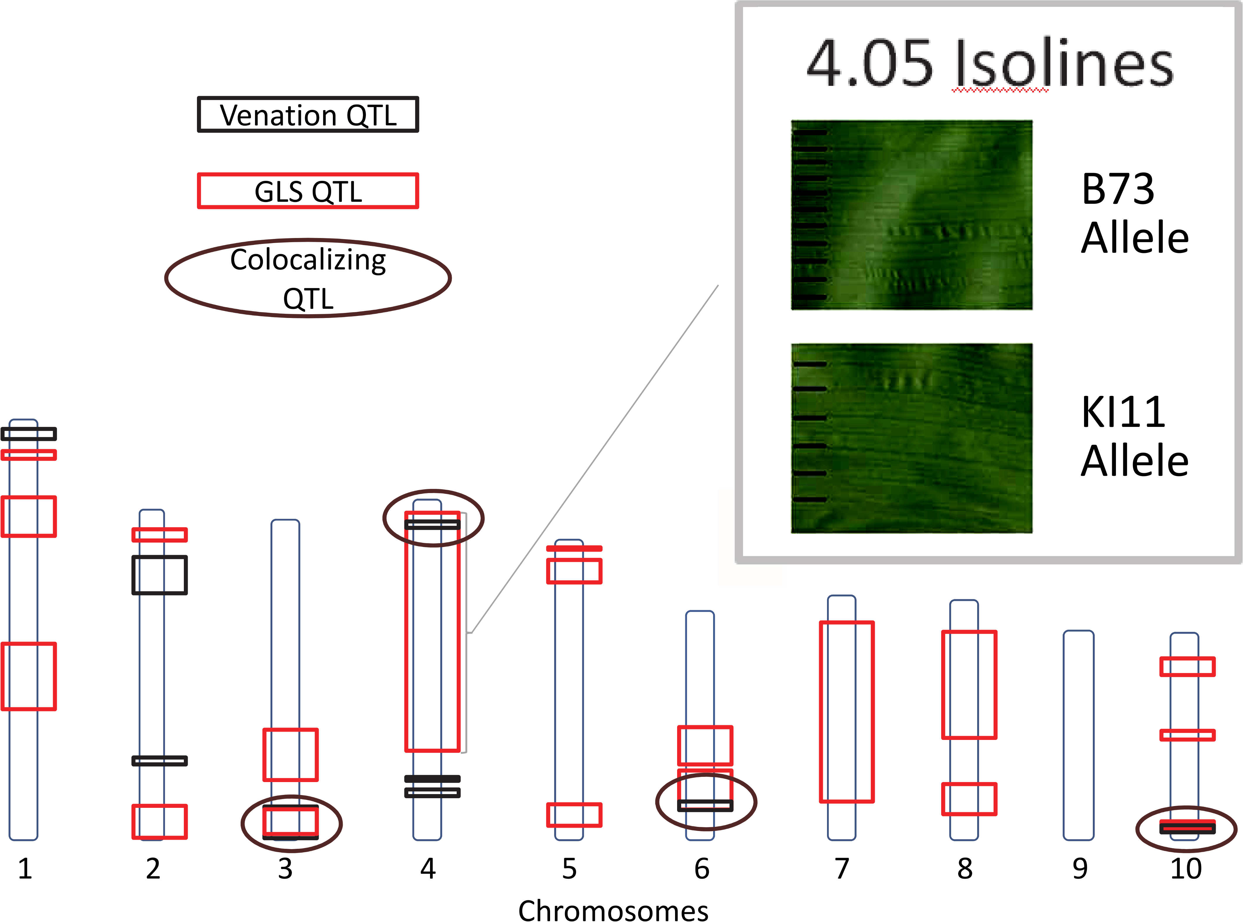 Gray leaf spot (GLS) and venation quantitative trait loci.