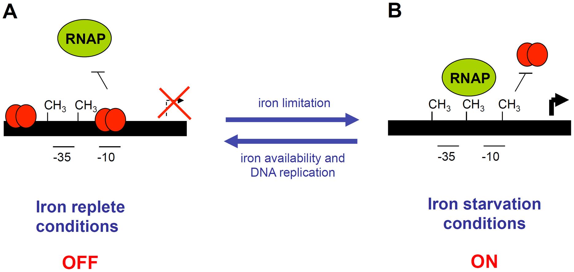 Schematic representation of the EAEC <i>sci1</i> T6SS gene cluster epigenetic switch regulatory mechanism.