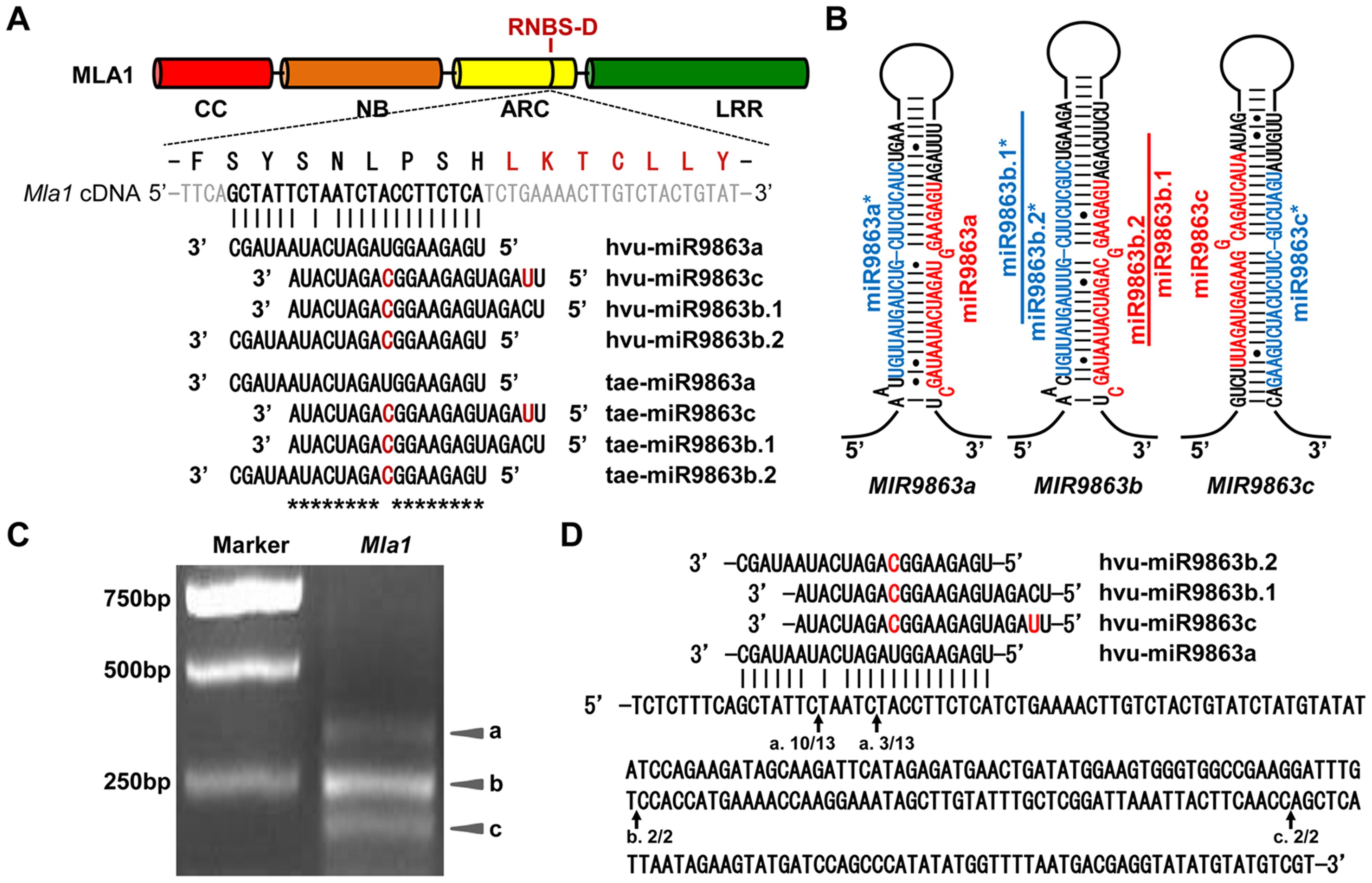 miR9863 family members target <i>Mla1</i> transcripts in barley.