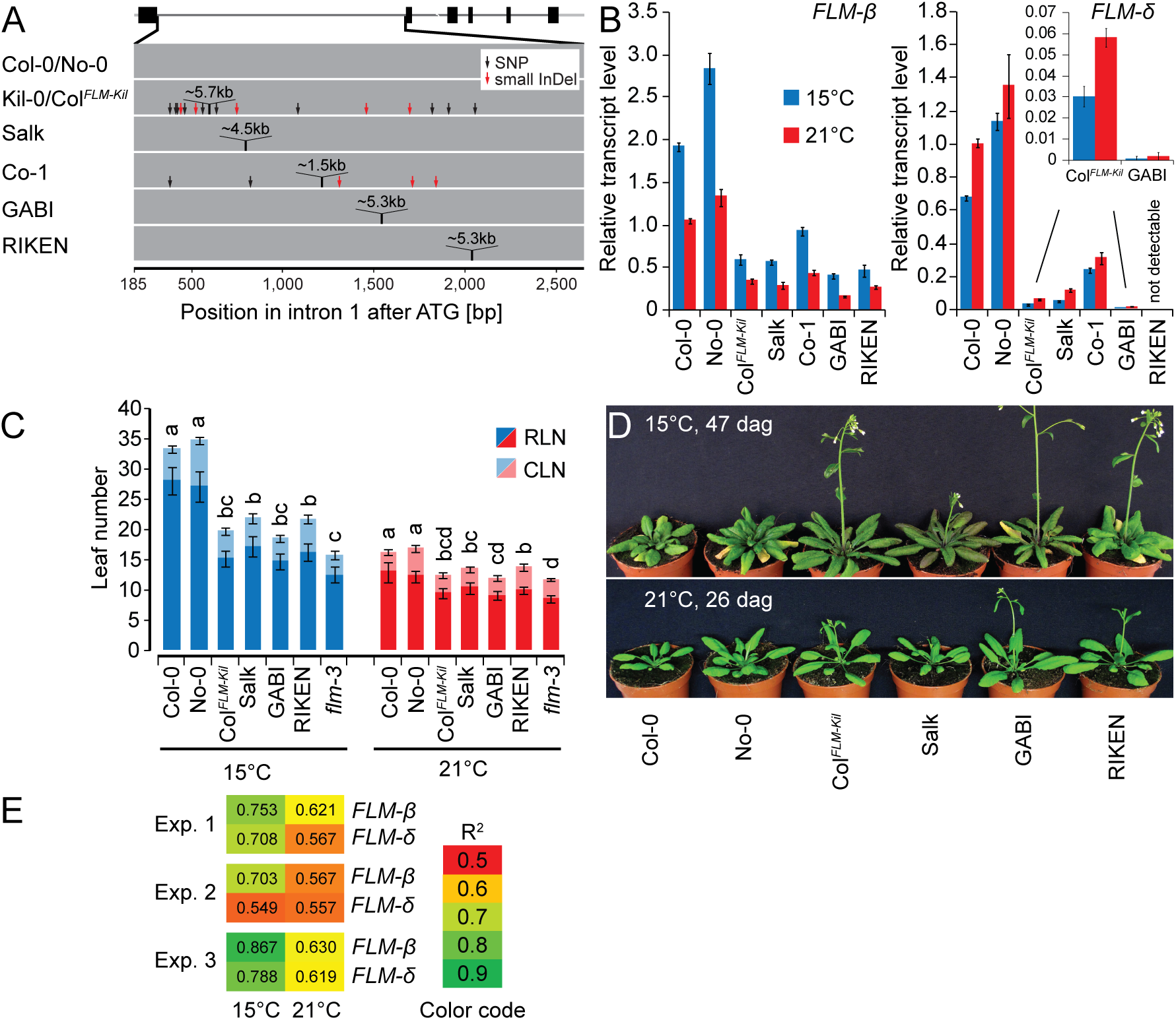 The first intron carries important regions for isoform-specific <i>FLM</i> abundance.