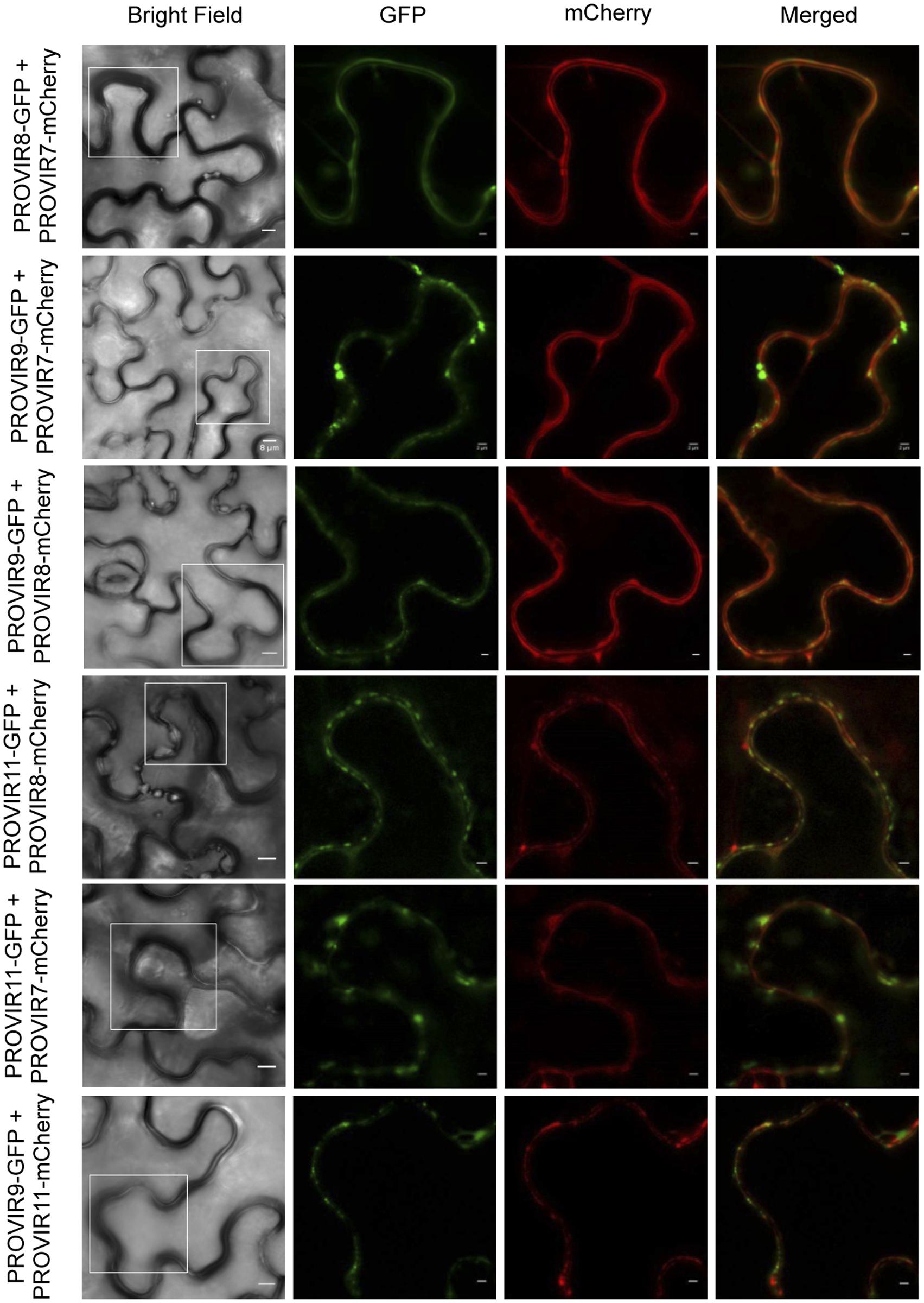 Co-localization of PROVIR proteins in <i>N</i>. <i>benthamiana</i> leaves.