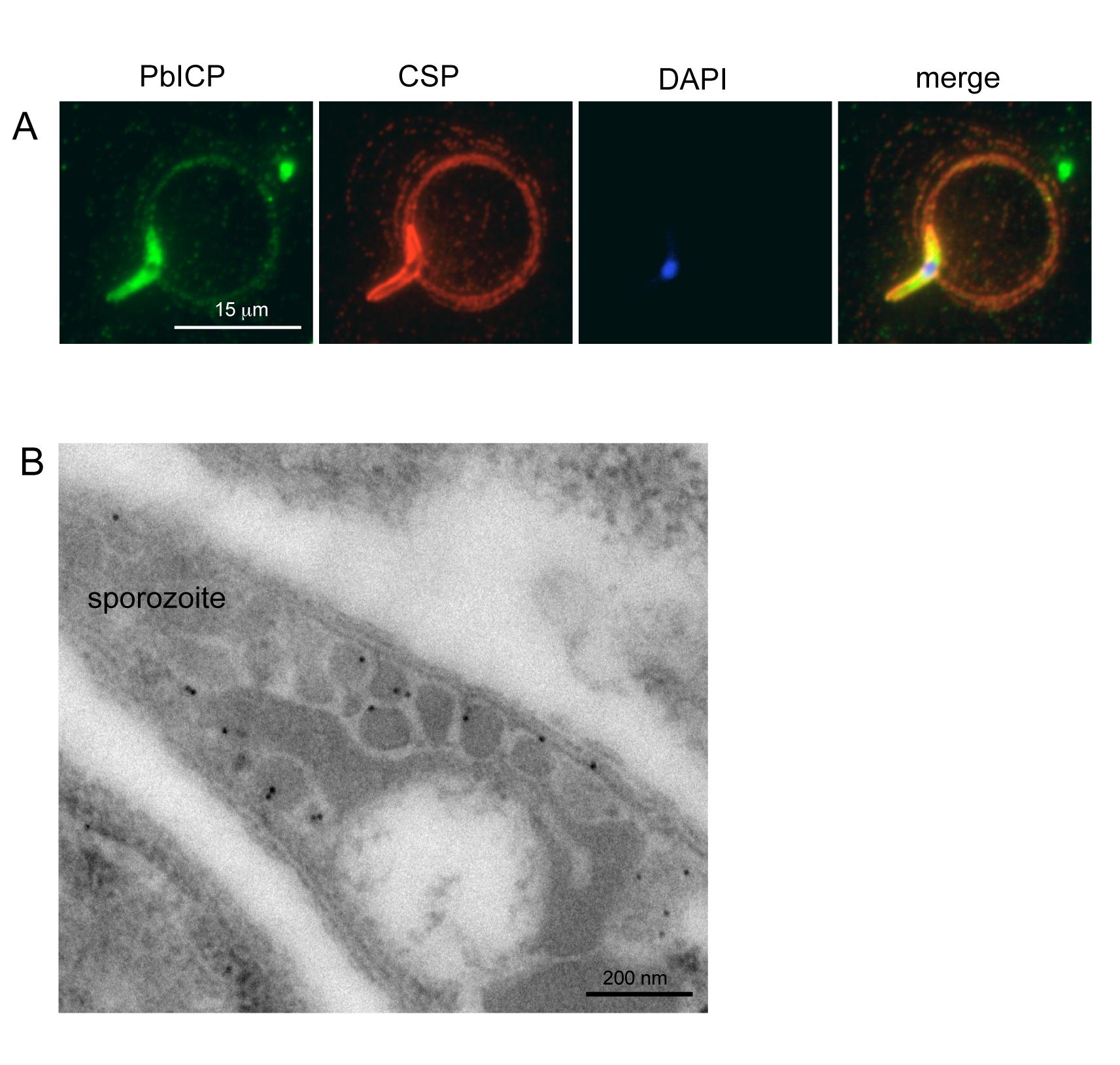 PbICP is secreted by salivary gland sporozoites.